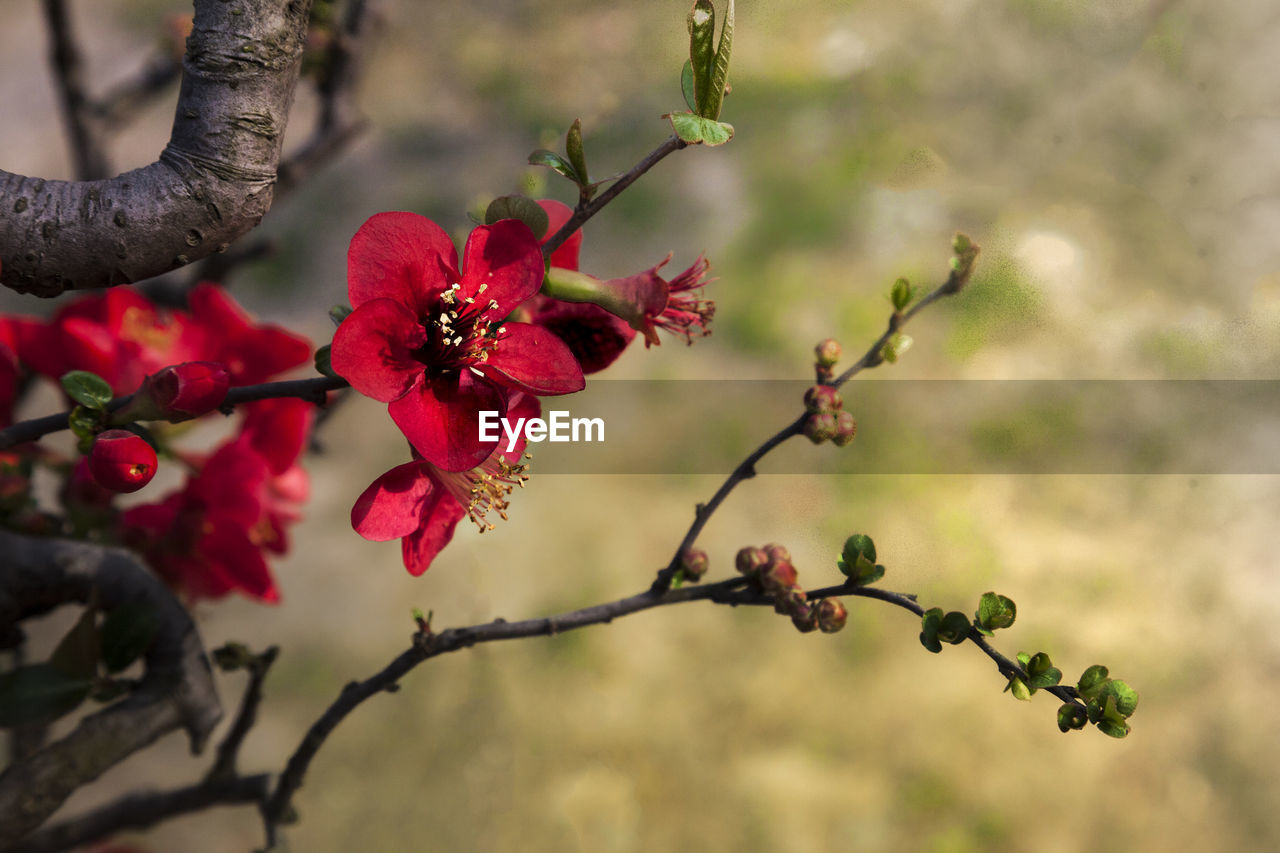 plant, flower, flowering plant, beauty in nature, growth, freshness, red, focus on foreground, vulnerability, fragility, nature, tree, petal, close-up, day, no people, flower head, branch, inflorescence, outdoors