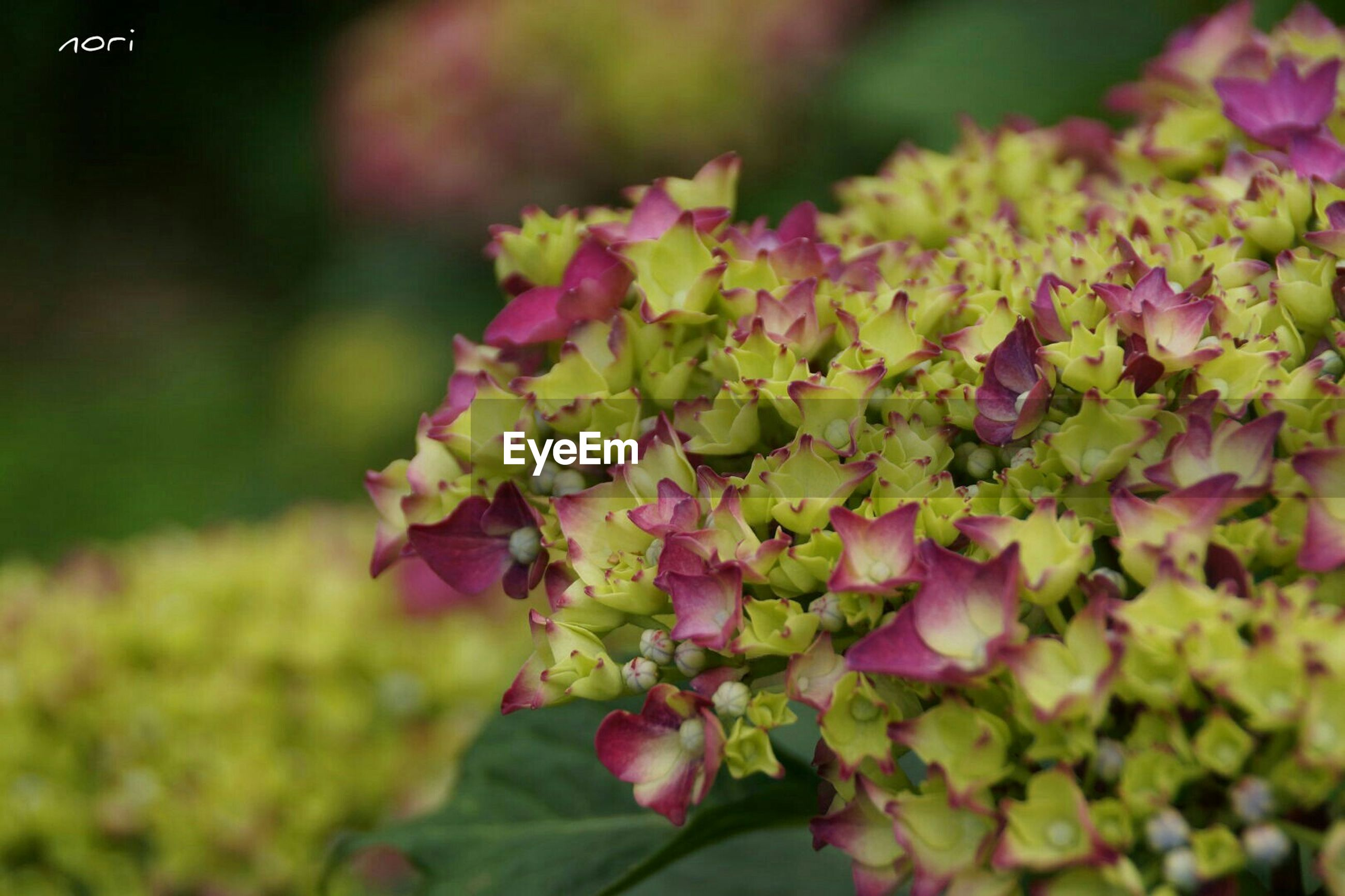 flower, growth, freshness, focus on foreground, beauty in nature, fragility, close-up, nature, selective focus, plant, leaf, petal, pink color, blooming, outdoors, park - man made space, day, season, no people, in bloom