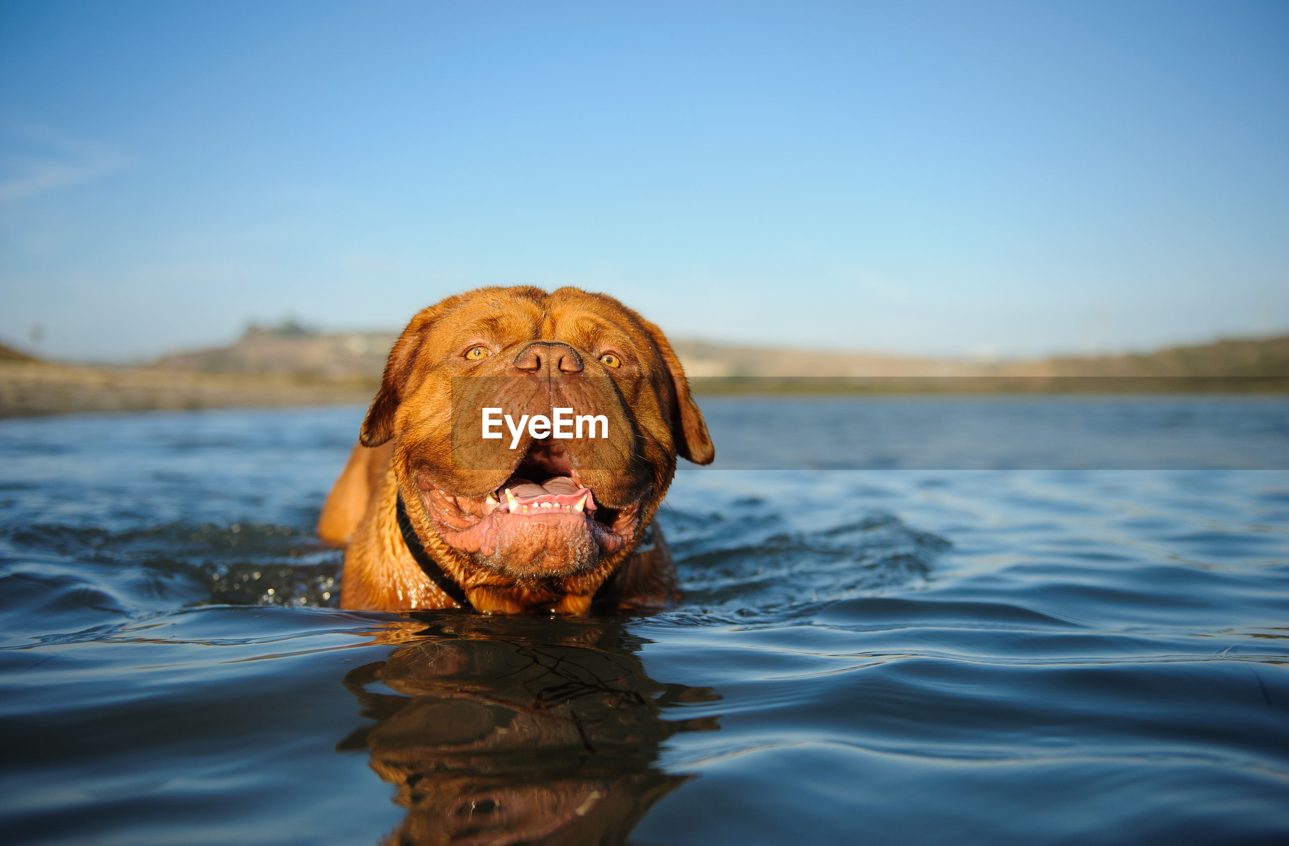 CLOSE-UP OF DOG SWIMMING ON LAKE