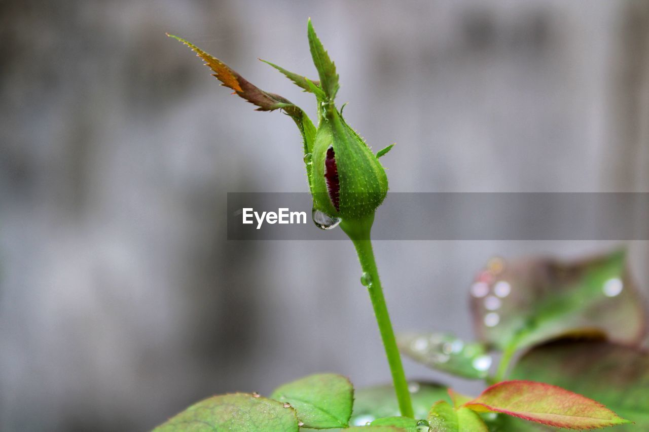 growth, green color, plant, plant part, close-up, leaf, beauty in nature, focus on foreground, no people, nature, day, freshness, drop, selective focus, vulnerability, beginnings, fragility, plant stem, bud, outdoors, sepal, raindrop