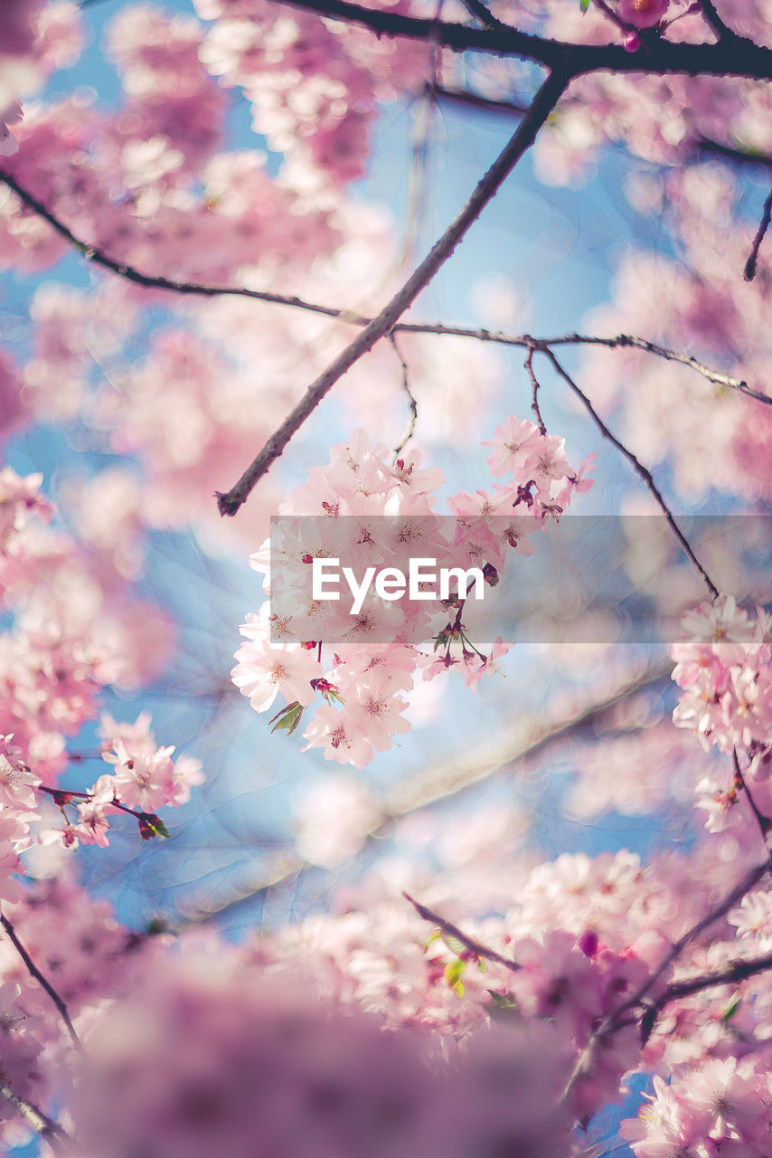 flowering plant, flower, plant, fragility, vulnerability, beauty in nature, freshness, pink color, blossom, branch, tree, growth, springtime, cherry blossom, nature, close-up, no people, twig, cherry tree, day, outdoors, flower head, pollen, spring