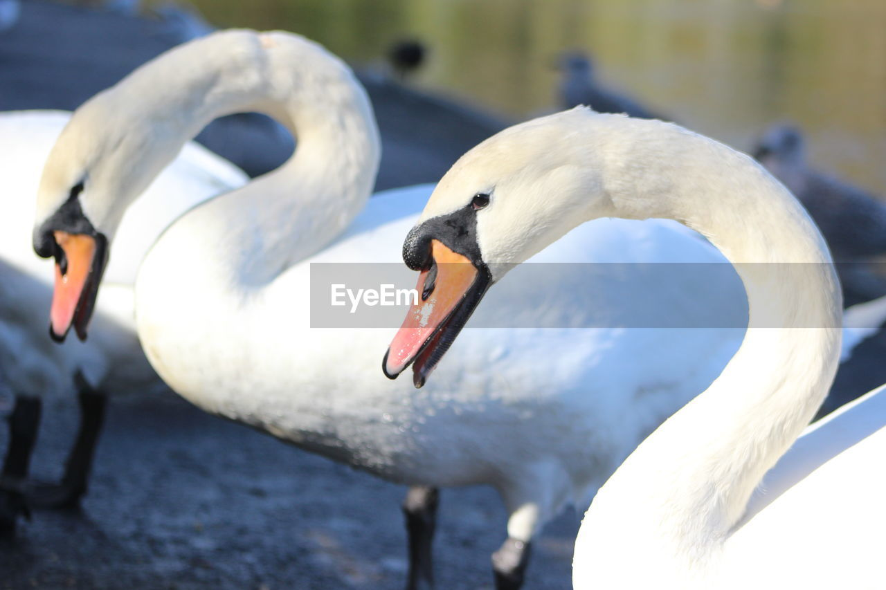 animals in the wild, swan, bird, animal themes, beak, white color, animal wildlife, water bird, nature, one animal, day, no people, close-up, outdoors, water, black swan
