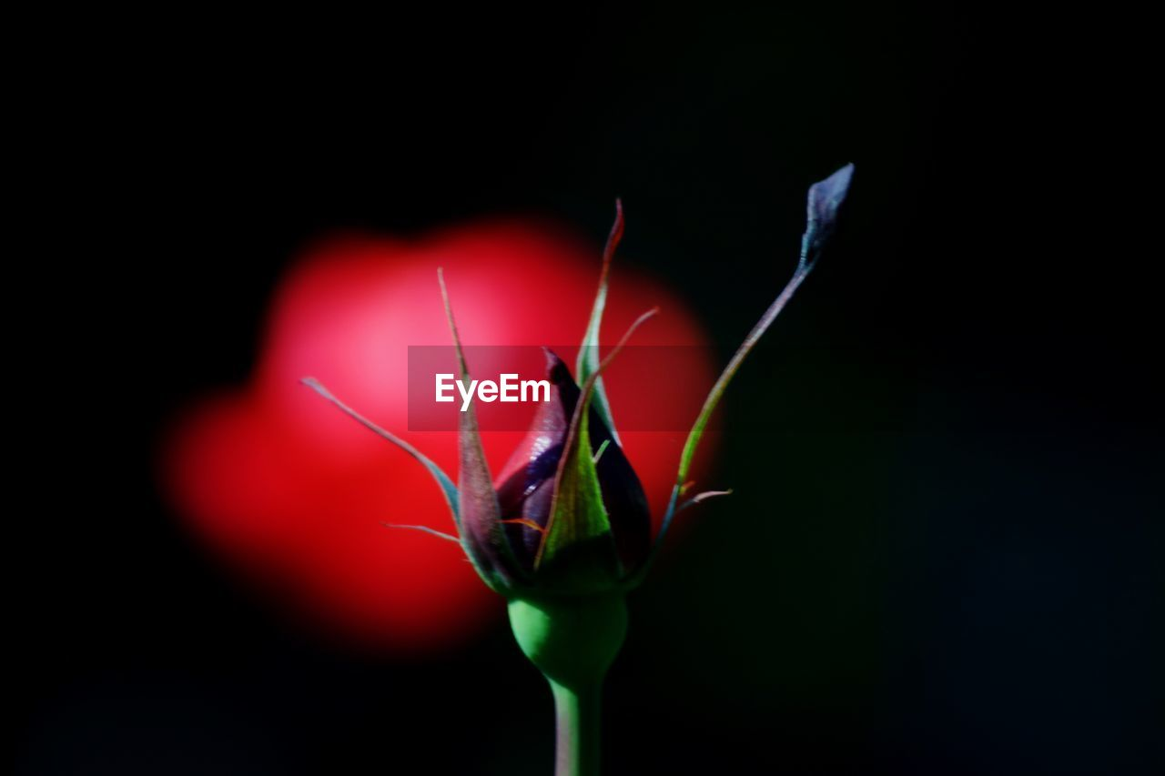 Close-up of flower bud against black background