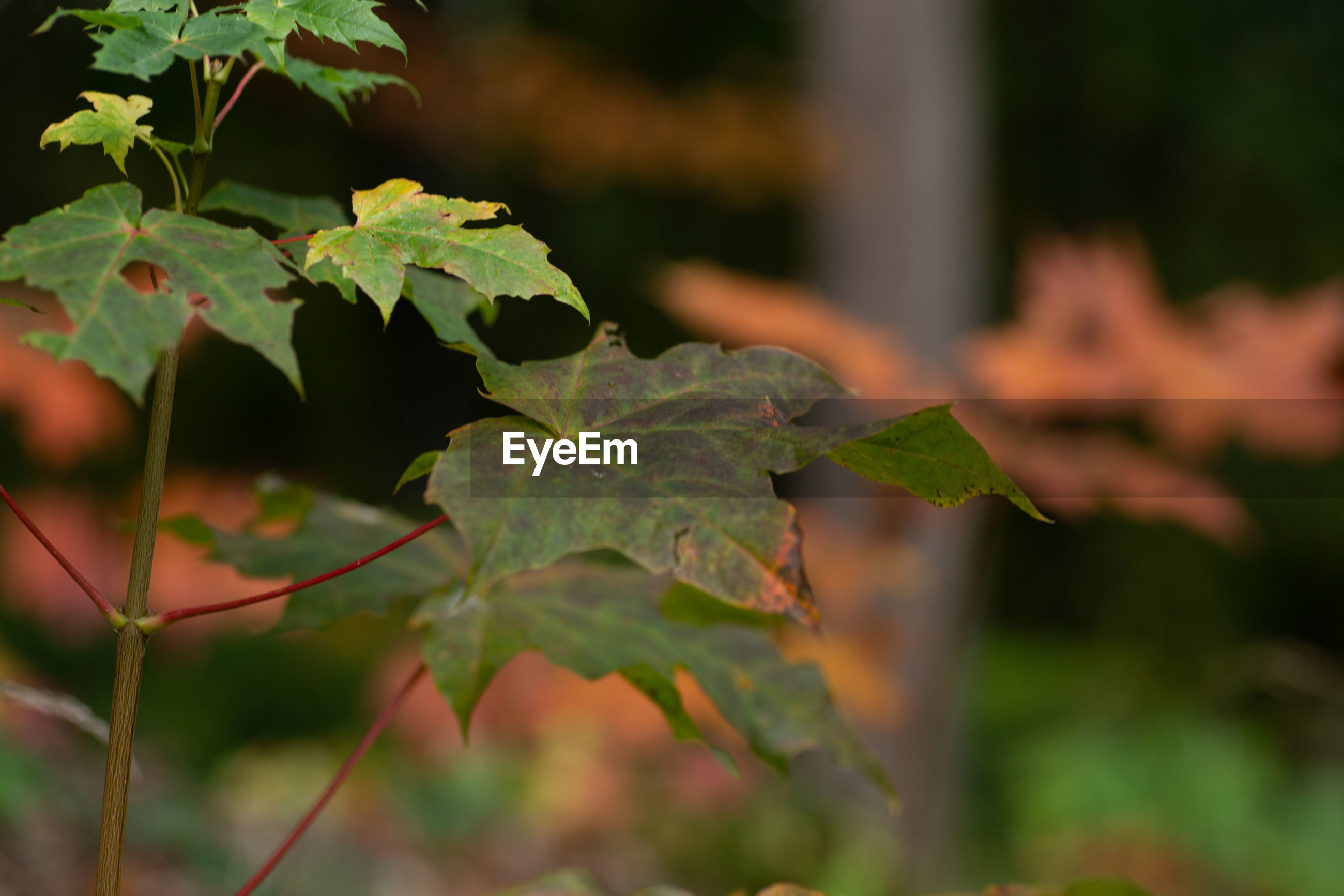 CLOSE-UP OF FRESH MAPLE LEAVES ON PLANT