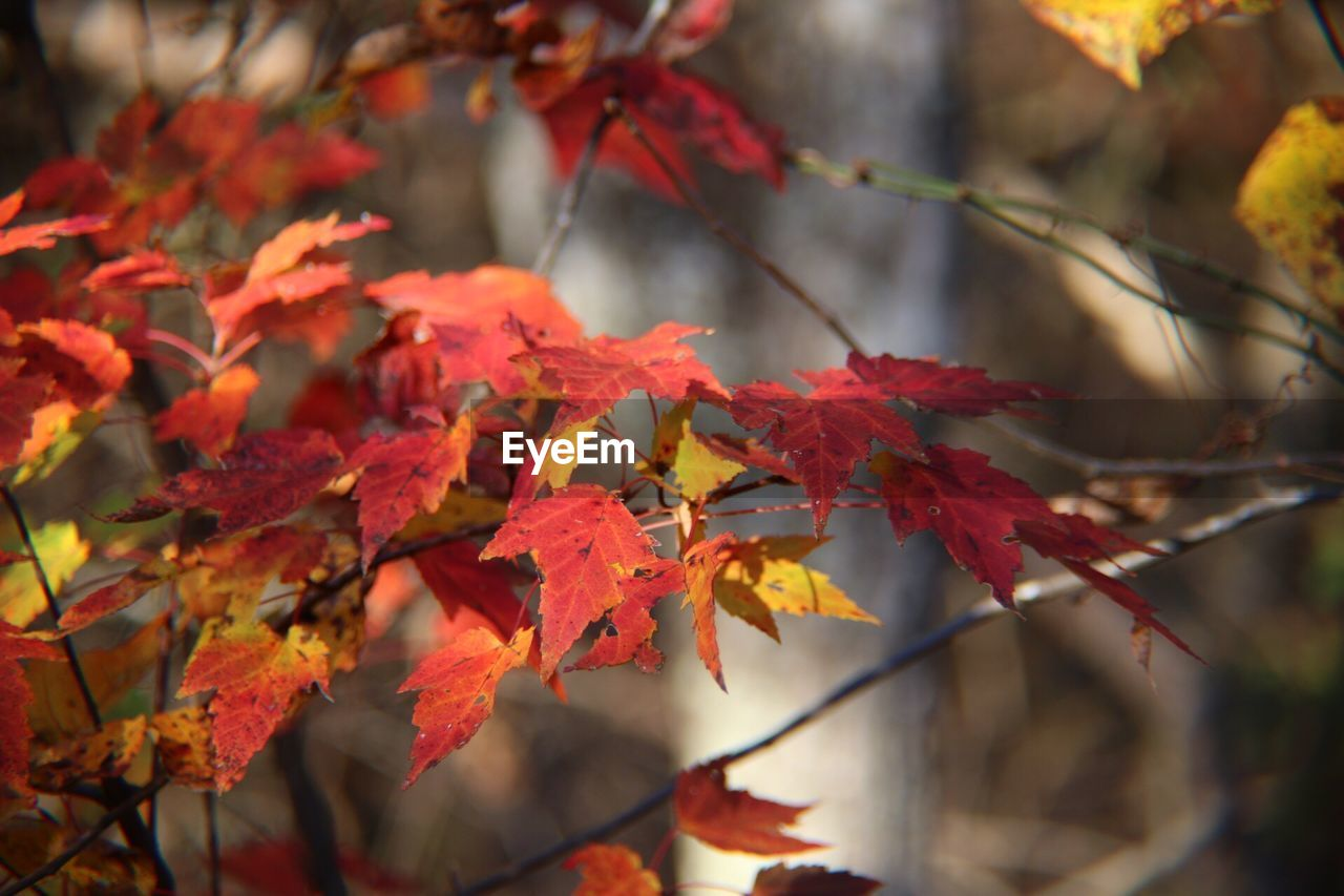 autumn, change, leaf, maple leaf, maple tree, nature, maple, leaves, beauty in nature, orange color, outdoors, day, no people, red, growth, tranquility, close-up, tree, branch