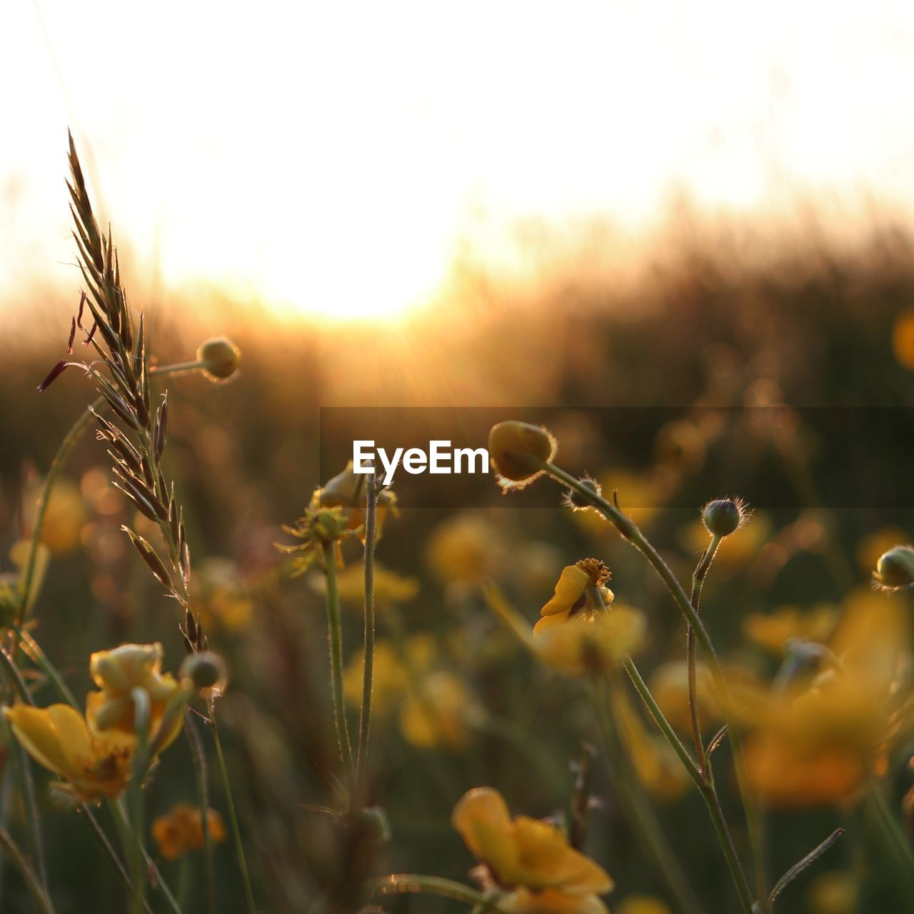 growth, plant, beauty in nature, nature, close-up, tranquility, no people, selective focus, sunlight, sky, field, day, focus on foreground, land, fragility, sunset, outdoors, flower, vulnerability, crop, lens flare