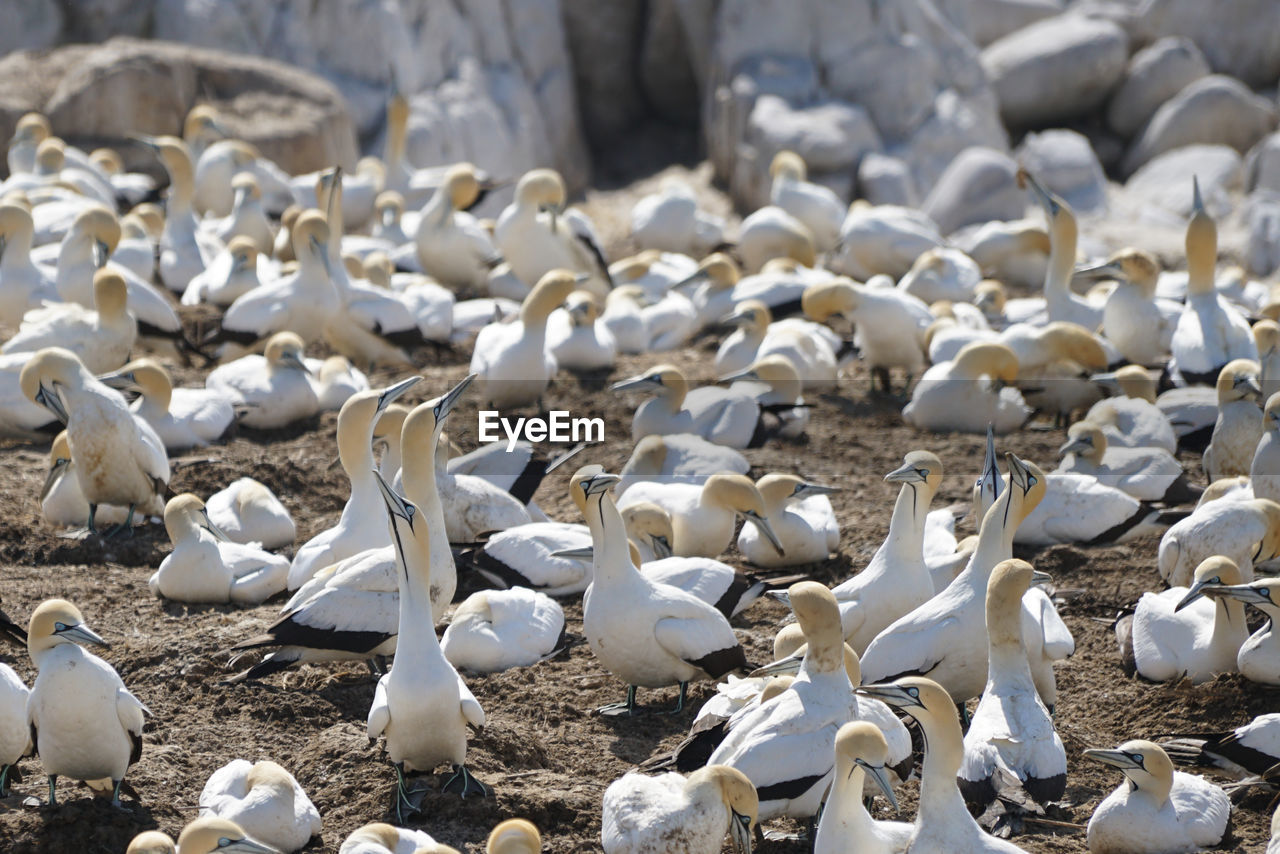 High angle view of gannets