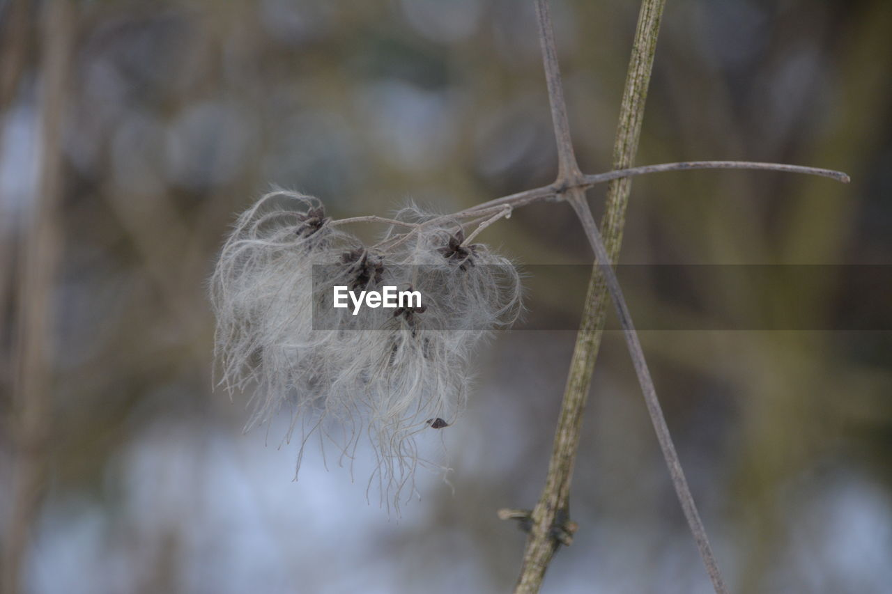 focus on foreground, close-up, plant, no people, day, fragility, selective focus, nature, softness, vulnerability, hanging, white color, outdoors, dried plant, dry, tree, growth, twig, tranquility, cold temperature, dead plant