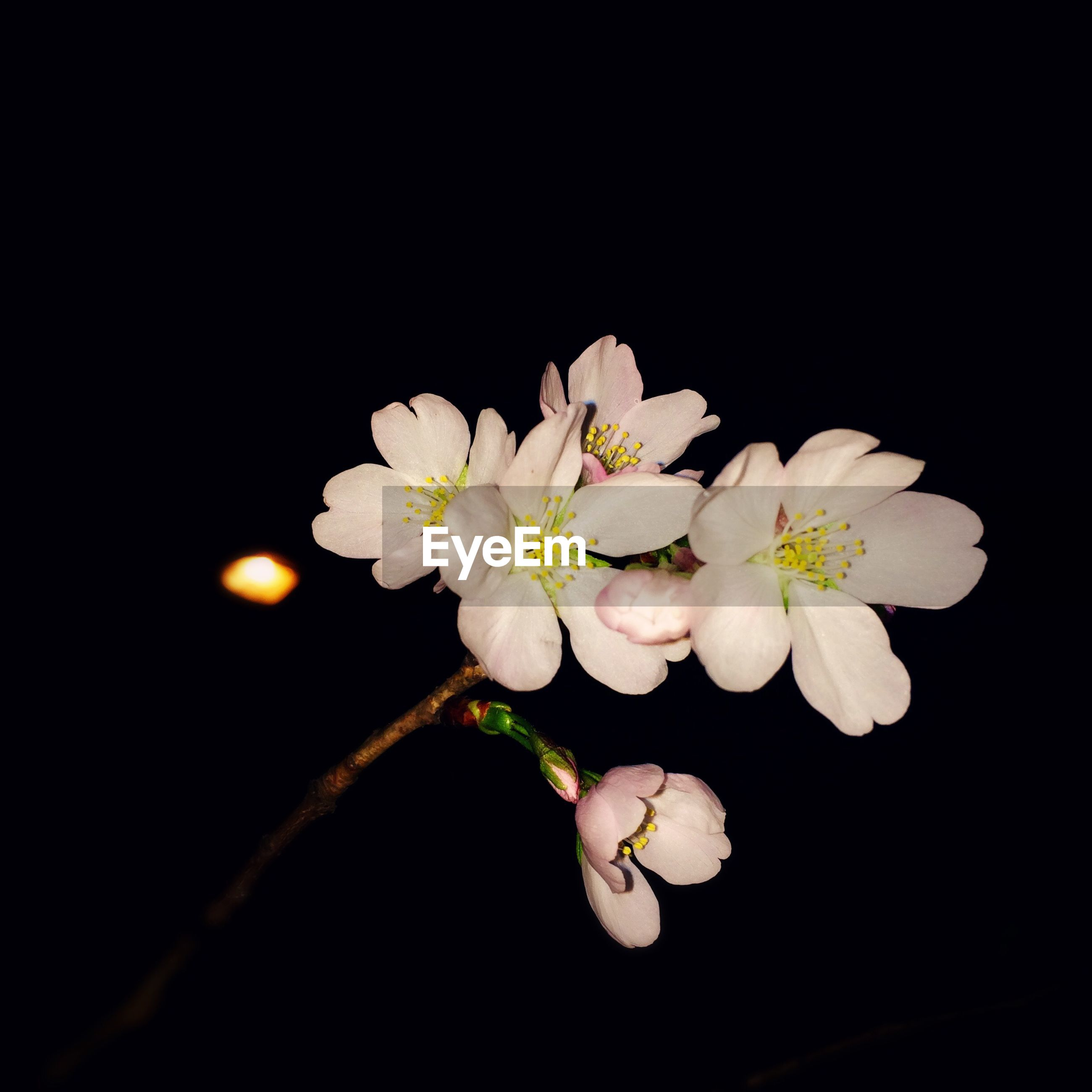 flower, freshness, petal, fragility, white color, growth, beauty in nature, flower head, nature, close-up, blossom, blooming, in bloom, night, copy space, studio shot, white, botany, plant, black background