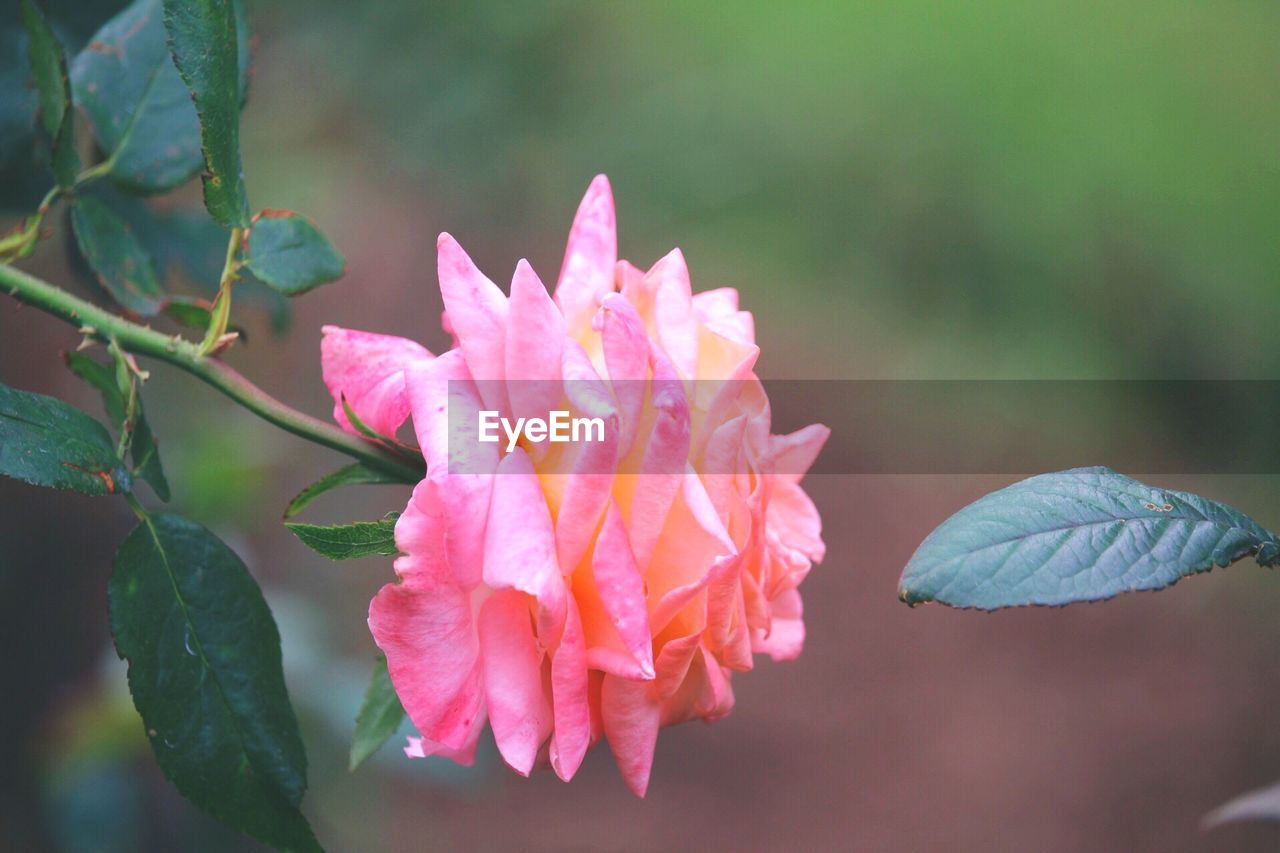 beauty in nature, plant, petal, vulnerability, flowering plant, fragility, flower, growth, pink color, freshness, close-up, inflorescence, leaf, flower head, plant part, focus on foreground, day, nature, no people, botany, outdoors