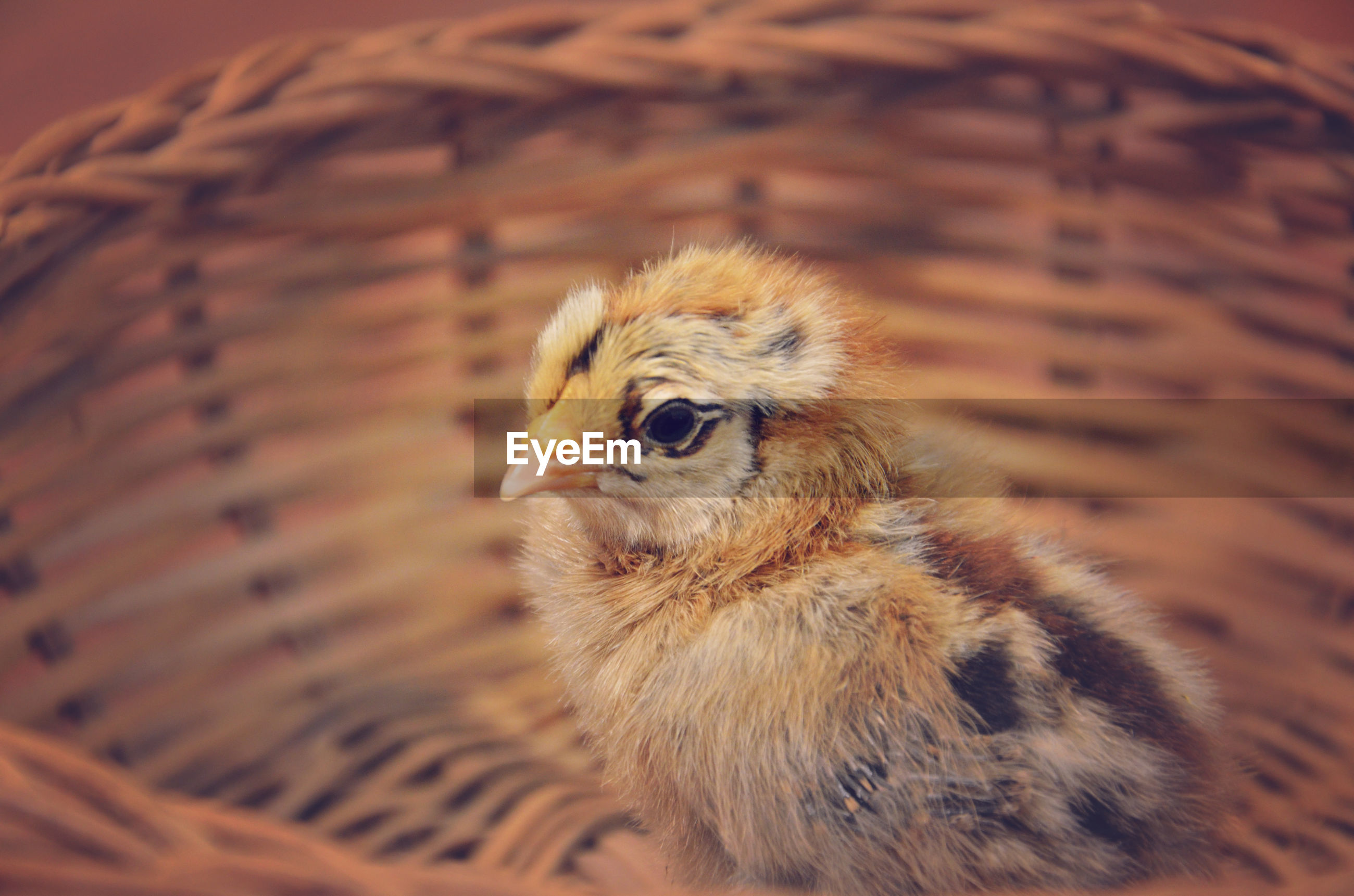 High angle view of ameraucana chick in basket
