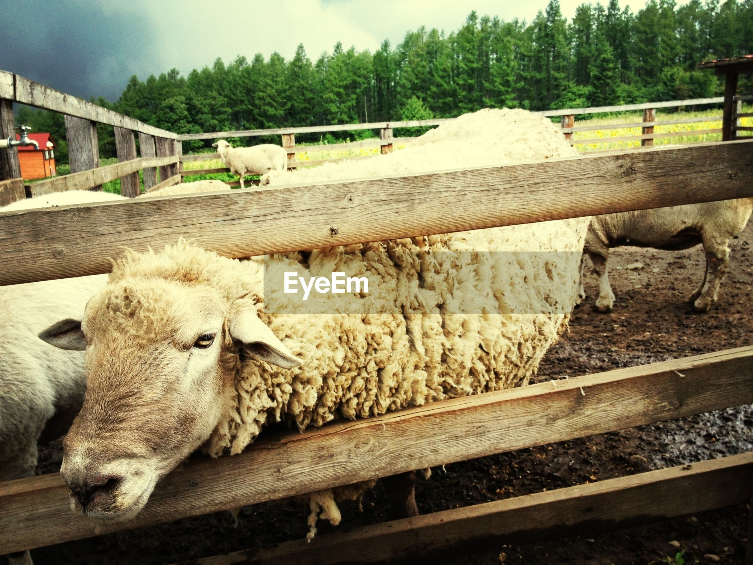 animal themes, domestic animals, mammal, livestock, fence, railing, sheep, two animals, one animal, wildlife, animals in the wild, nature, bridge - man made structure, field, day, no people, outdoors, grass, tree, three animals
