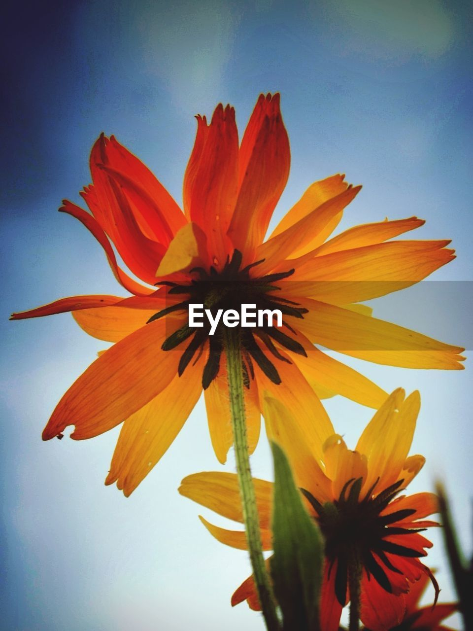 flower, petal, fragility, freshness, flower head, beauty in nature, nature, blooming, growth, pollen, plant, close-up, day, no people, outdoors, sky, day lily
