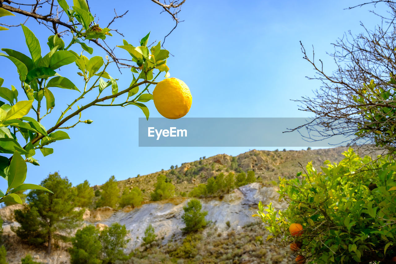 plant, tree, sky, nature, yellow, low angle view, growth, beauty in nature, no people, citrus fruit, day, fruit, outdoors, green color, scenics - nature, sunlight, tranquility, mountain, healthy eating, branch