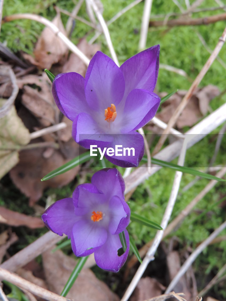 flower, petal, fragility, beauty in nature, purple, nature, flower head, growth, plant, freshness, outdoors, no people, day, blooming, close-up, crocus