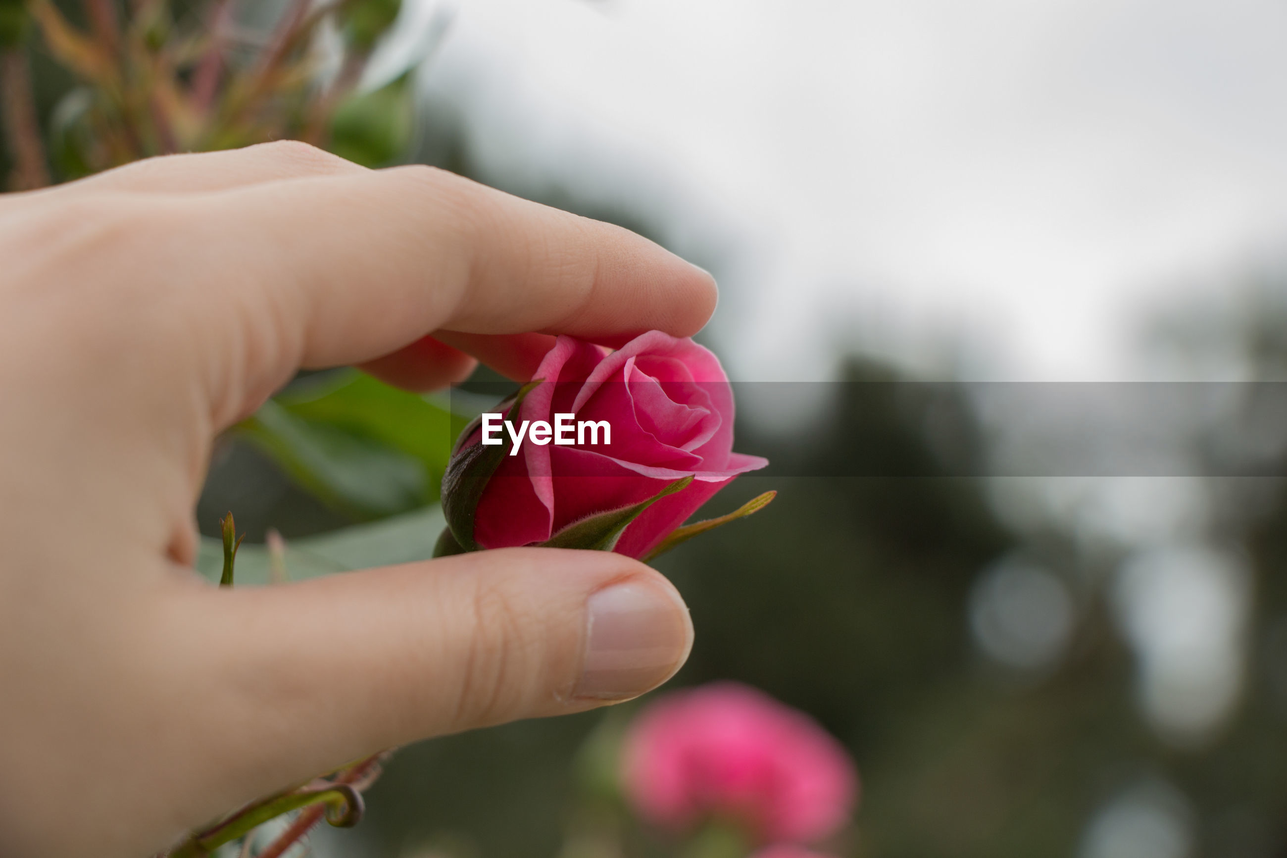 CLOSE-UP OF HAND HOLDING PINK ROSE AGAINST BLURRED BACKGROUND