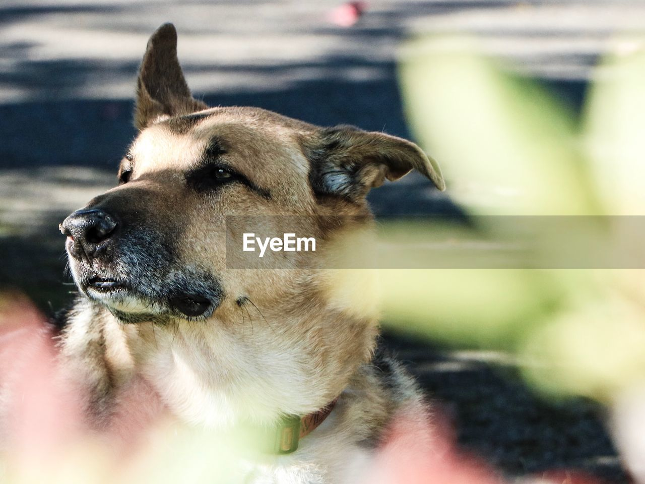pets, domestic, domestic animals, one animal, animal themes, mammal, animal, canine, dog, vertebrate, looking away, no people, close-up, looking, animal body part, focus on foreground, day, animal head, selective focus, relaxation, snout, animal mouth