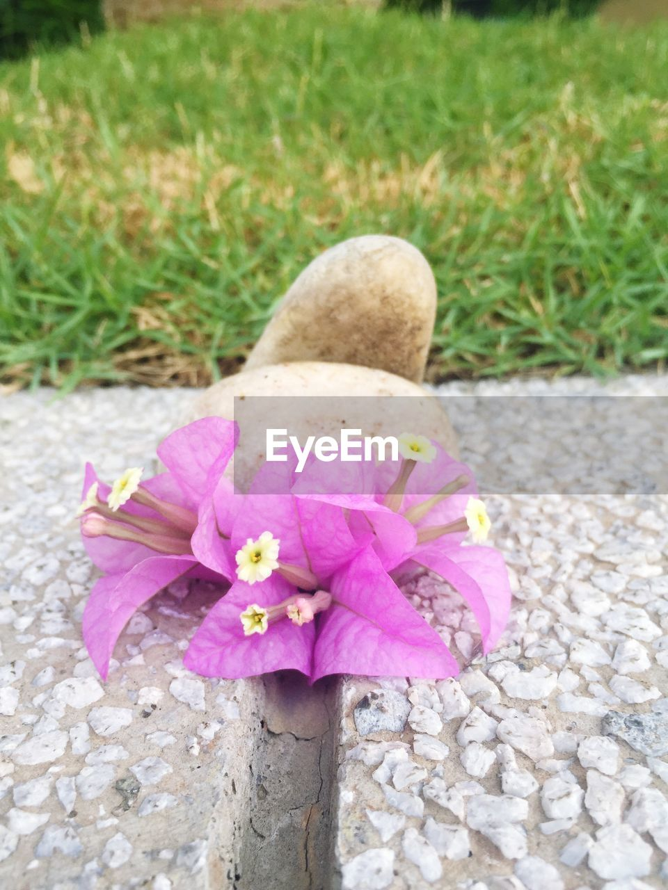 flower, nature, growth, petal, pink color, plant, no people, day, outdoors, grass, beauty in nature, close-up, fragility, flower head, blooming, freshness