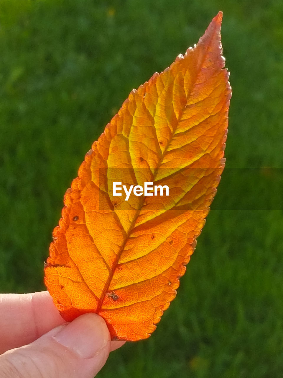 CLOSE-UP OF HAND HOLDING MAPLE LEAF ON LEAVES