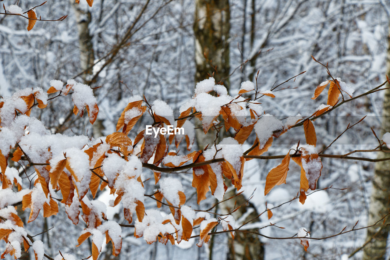 CLOSE-UP OF SNOW COVERED LEAVES ON LAND