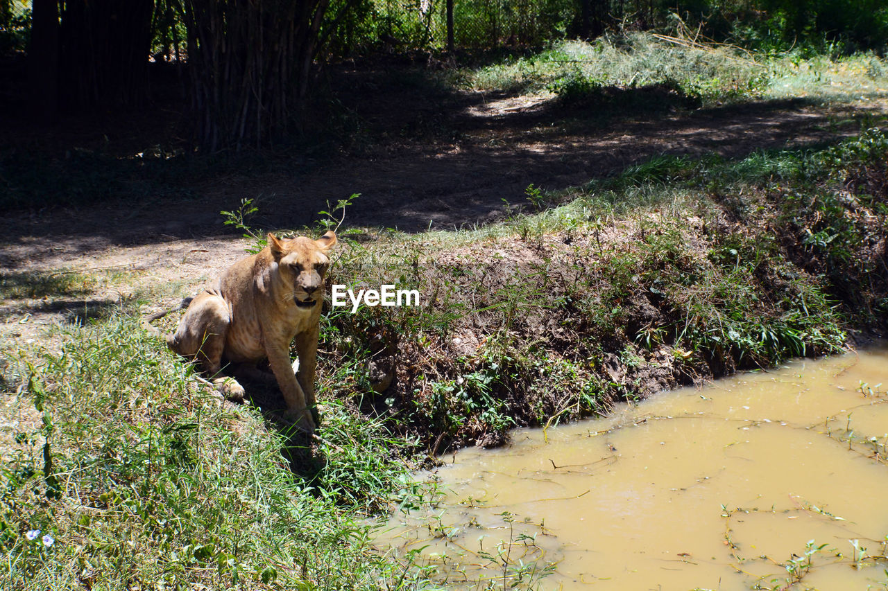 Lion On Grass By Lake