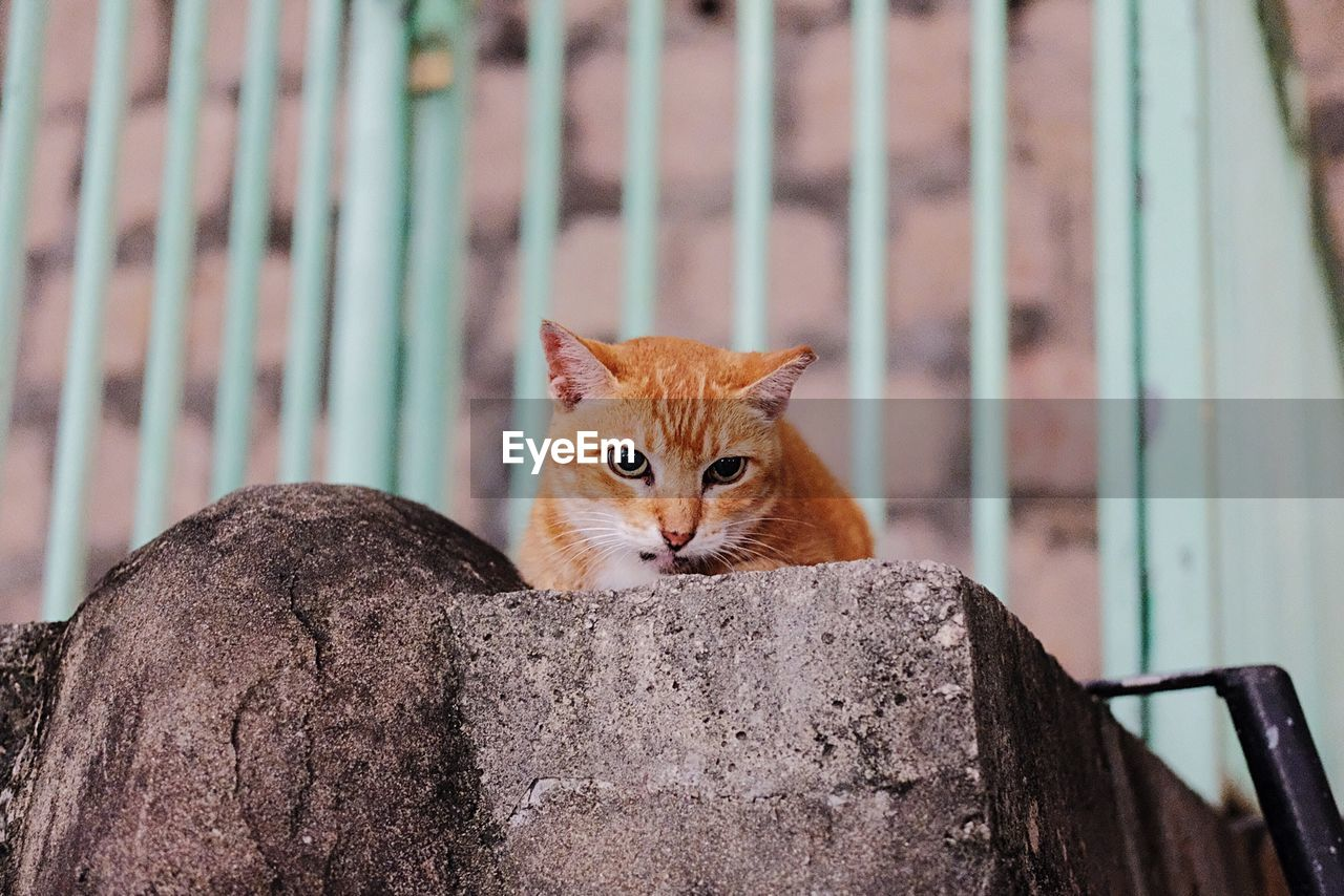 Low Angle Portrait Of Brown Cat Relaxing On Concrete Wall