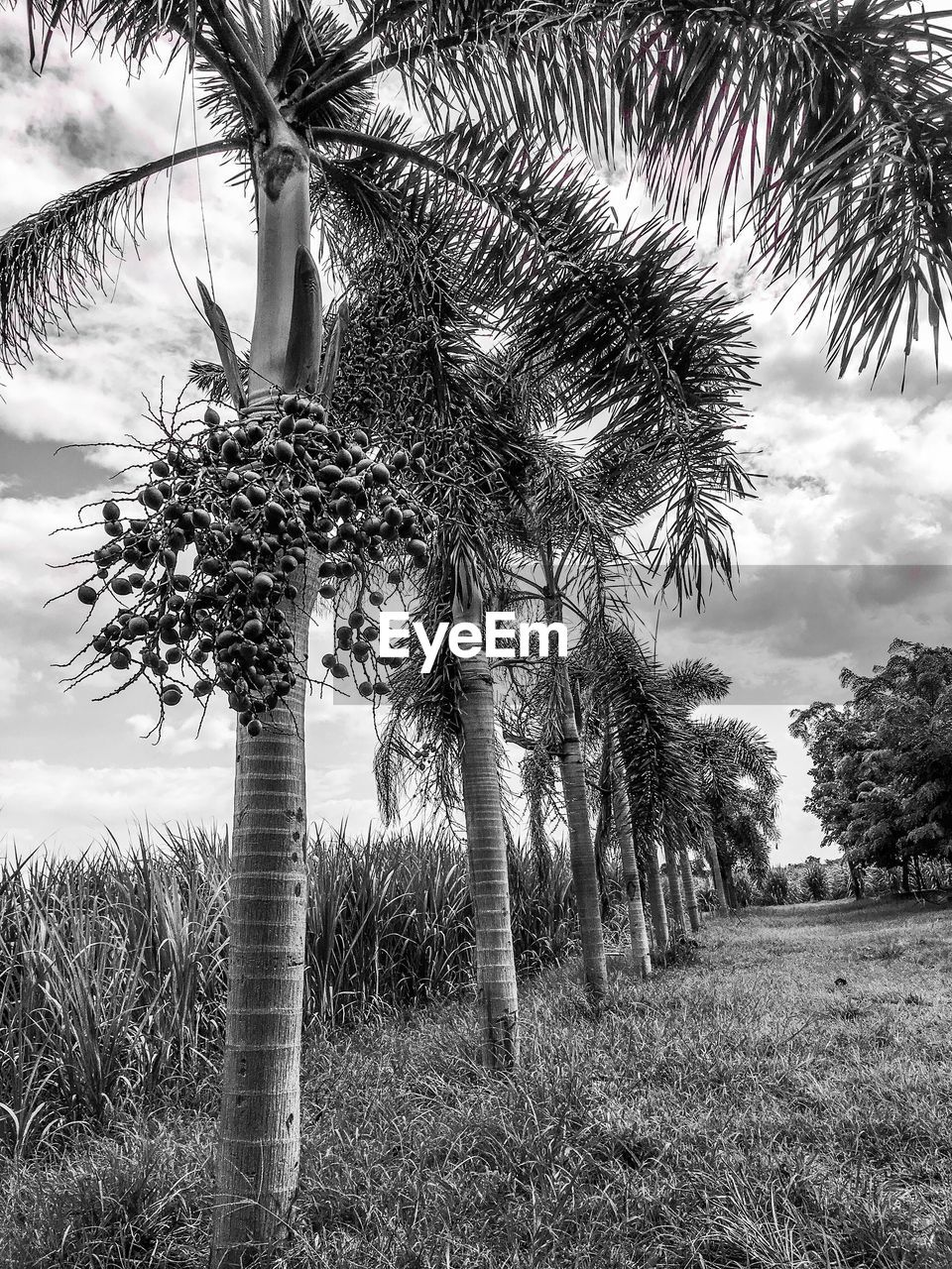 tree, palm tree, growth, sky, tree trunk, field, outdoors, day, nature, tranquility, tranquil scene, no people, beauty in nature, scenics, low angle view, branch, grass, landscape