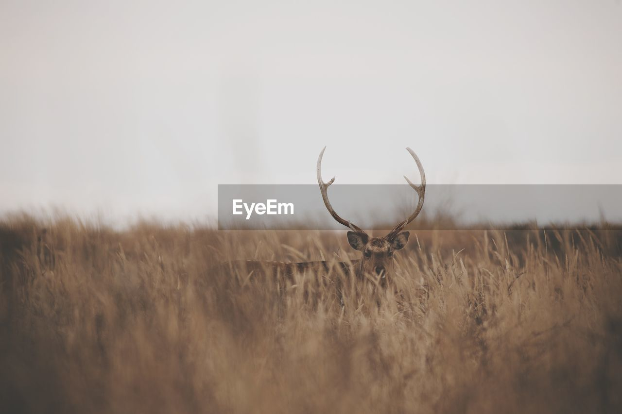 field, land, selective focus, plant, nature, sky, no people, landscape, one animal, grass, animal, animal themes, deer, day, animal wildlife, animals in the wild, growth, agriculture, environment, horned, outdoors, herbivorous