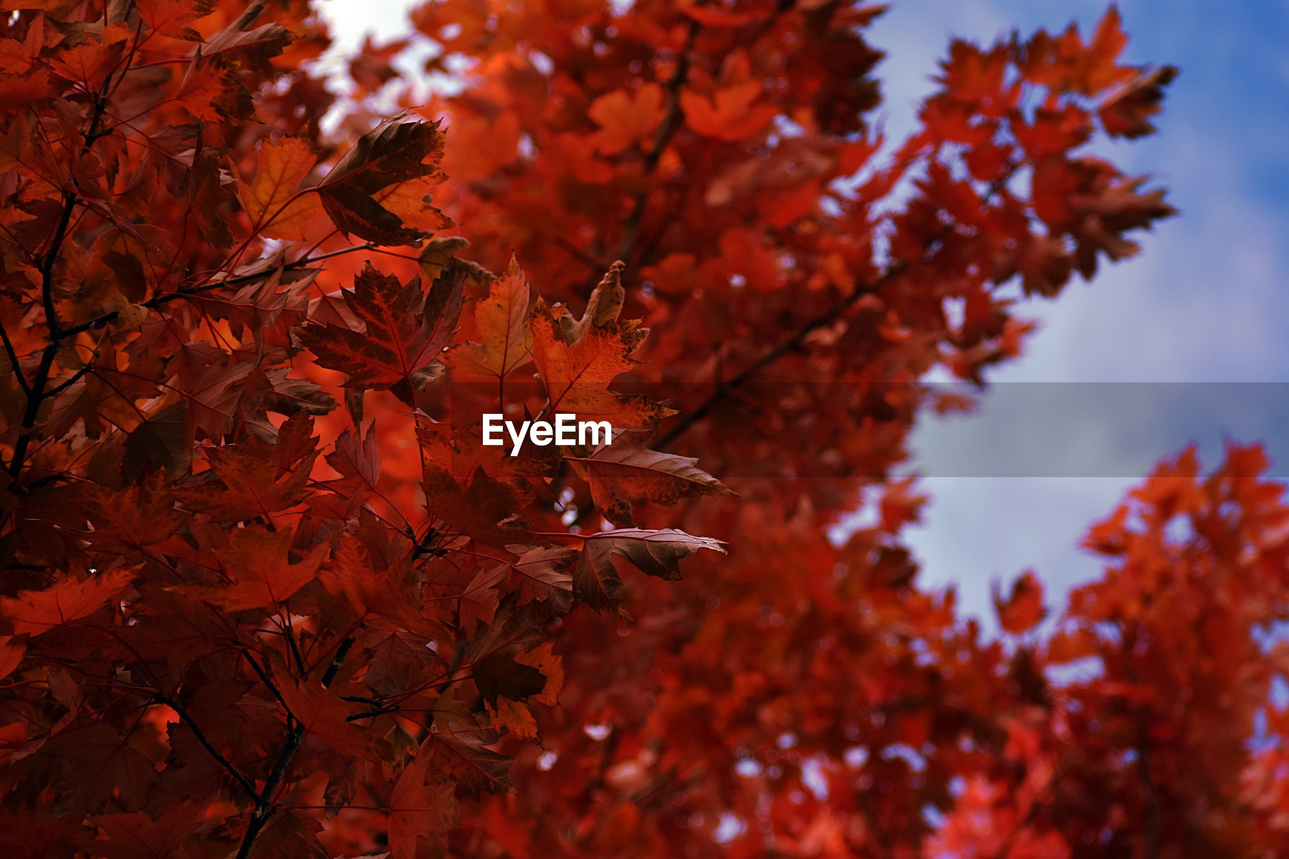 CLOSE-UP OF MAPLE TREE LEAVES