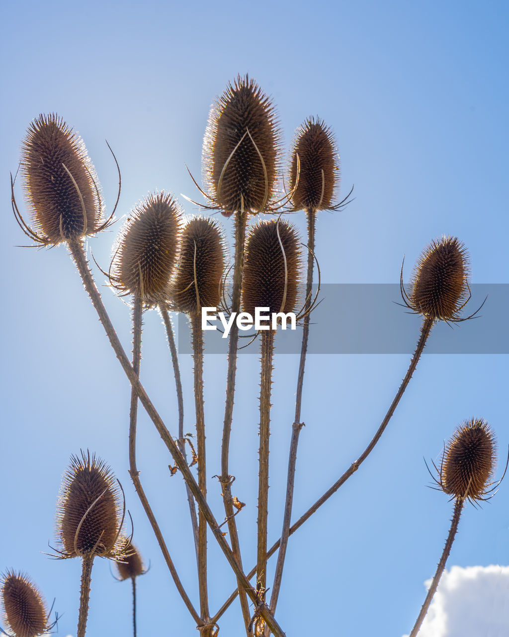sky, plant, low angle view, nature, growth, no people, beauty in nature, flower, flowering plant, clear sky, day, close-up, fragility, freshness, plant stem, vulnerability, sunlight, tranquility, focus on foreground, brown, outdoors, softness, spiky