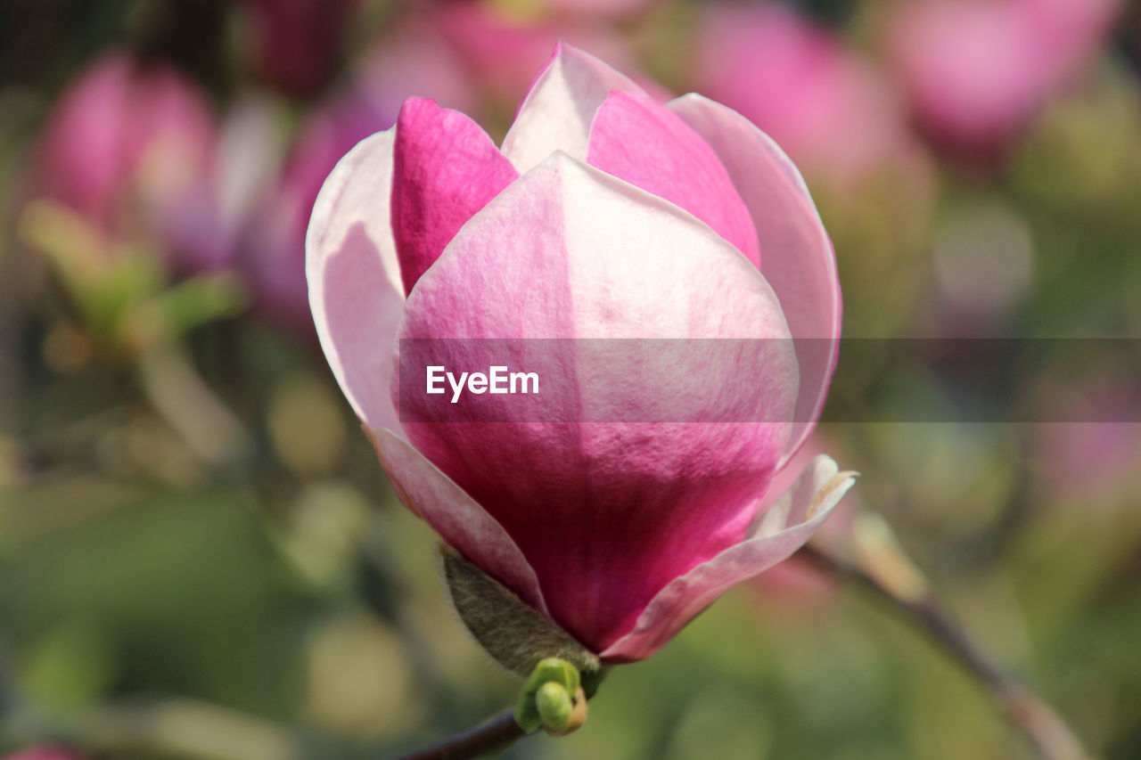flowering plant, flower, beauty in nature, vulnerability, plant, fragility, freshness, petal, close-up, growth, pink color, inflorescence, flower head, focus on foreground, nature, no people, bud, day, outdoors, softness, sepal
