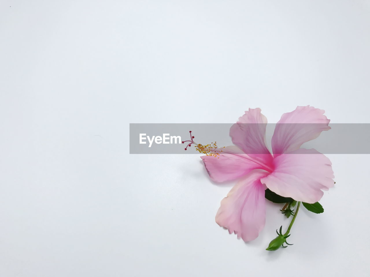 Close-up of pink hibiscus against white background