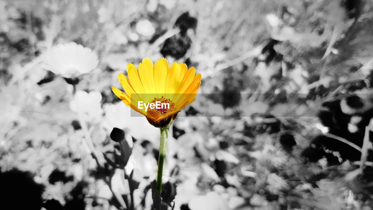 flower, fragility, yellow, petal, nature, growth, freshness, beauty in nature, flower head, plant, outdoors, blooming, day, close-up, no people, focus on foreground