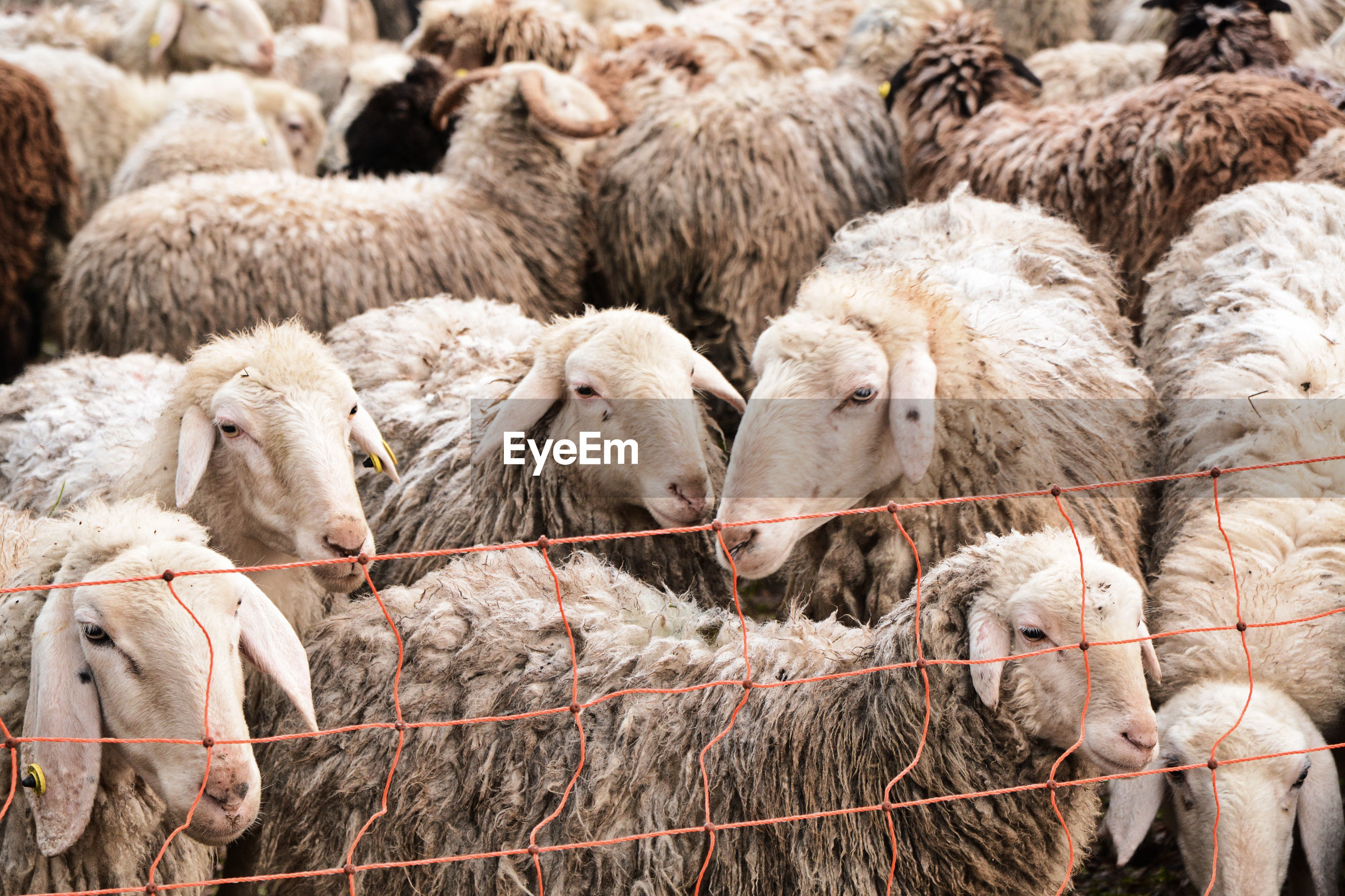 Flock of sheep in a field in albate, como, lombardy, italy.