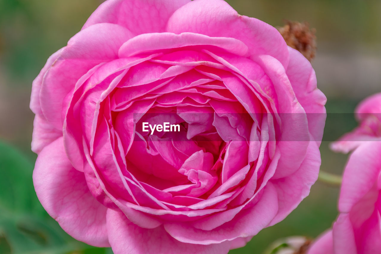 flowering plant, flower, beauty in nature, pink color, vulnerability, plant, close-up, fragility, petal, freshness, inflorescence, flower head, focus on foreground, growth, nature, rose, rose - flower, no people, day, outdoors, springtime