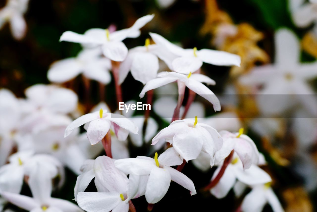 flower, flowering plant, beauty in nature, plant, petal, vulnerability, fragility, freshness, white color, growth, close-up, flower head, inflorescence, nature, day, no people, focus on foreground, selective focus, botany, outdoors