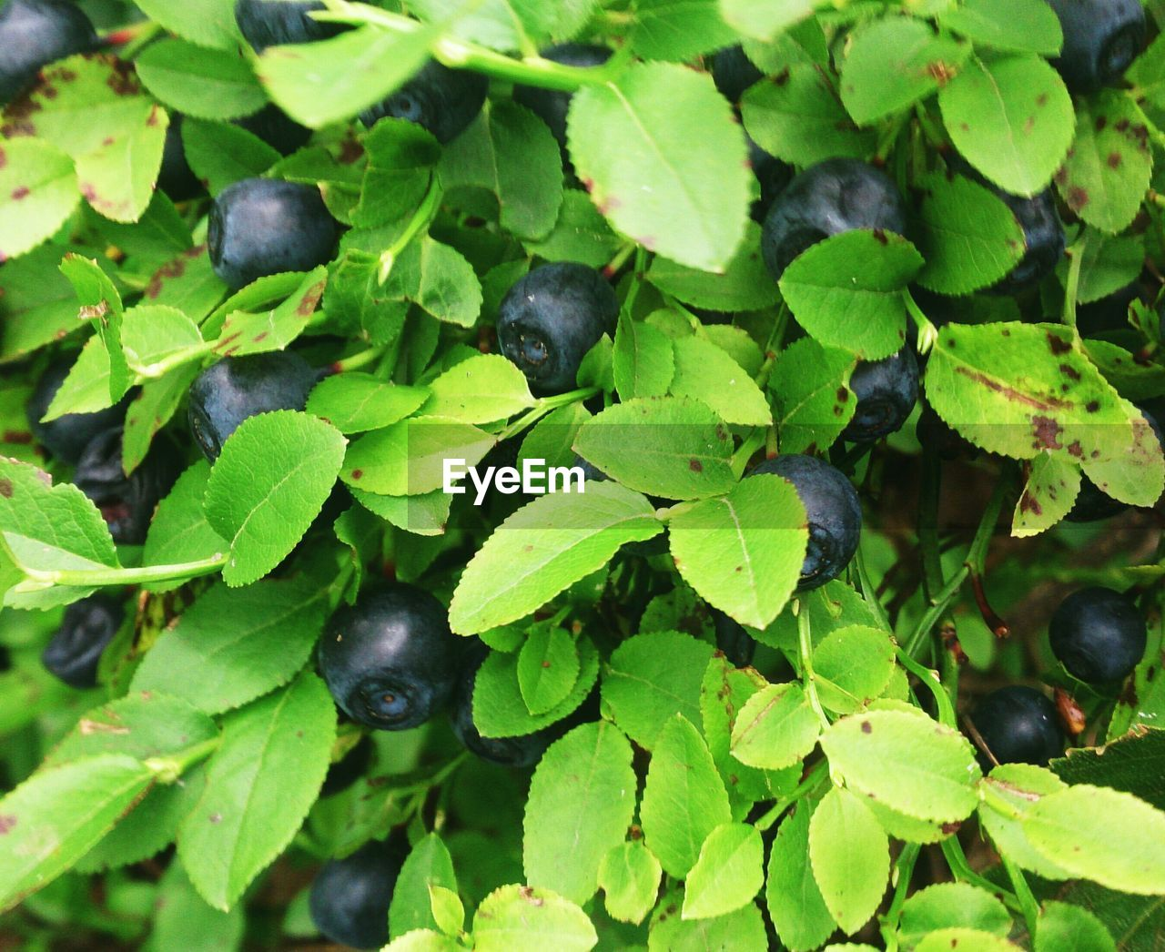 plant part, leaf, green color, growth, plant, food, nature, freshness, food and drink, healthy eating, close-up, no people, day, full frame, black color, blueberry, fruit, high angle view, wellbeing, backgrounds, outdoors, ripe, leaves