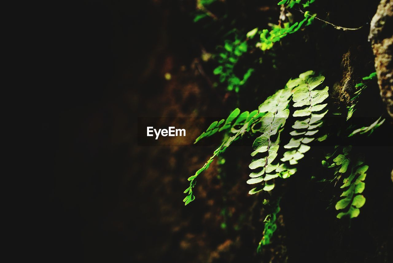green color, plant, growth, no people, beauty in nature, close-up, focus on foreground, nature, tranquility, selective focus, leaf, night, plant part, outdoors, fern, tree, copy space, pattern, vulnerability