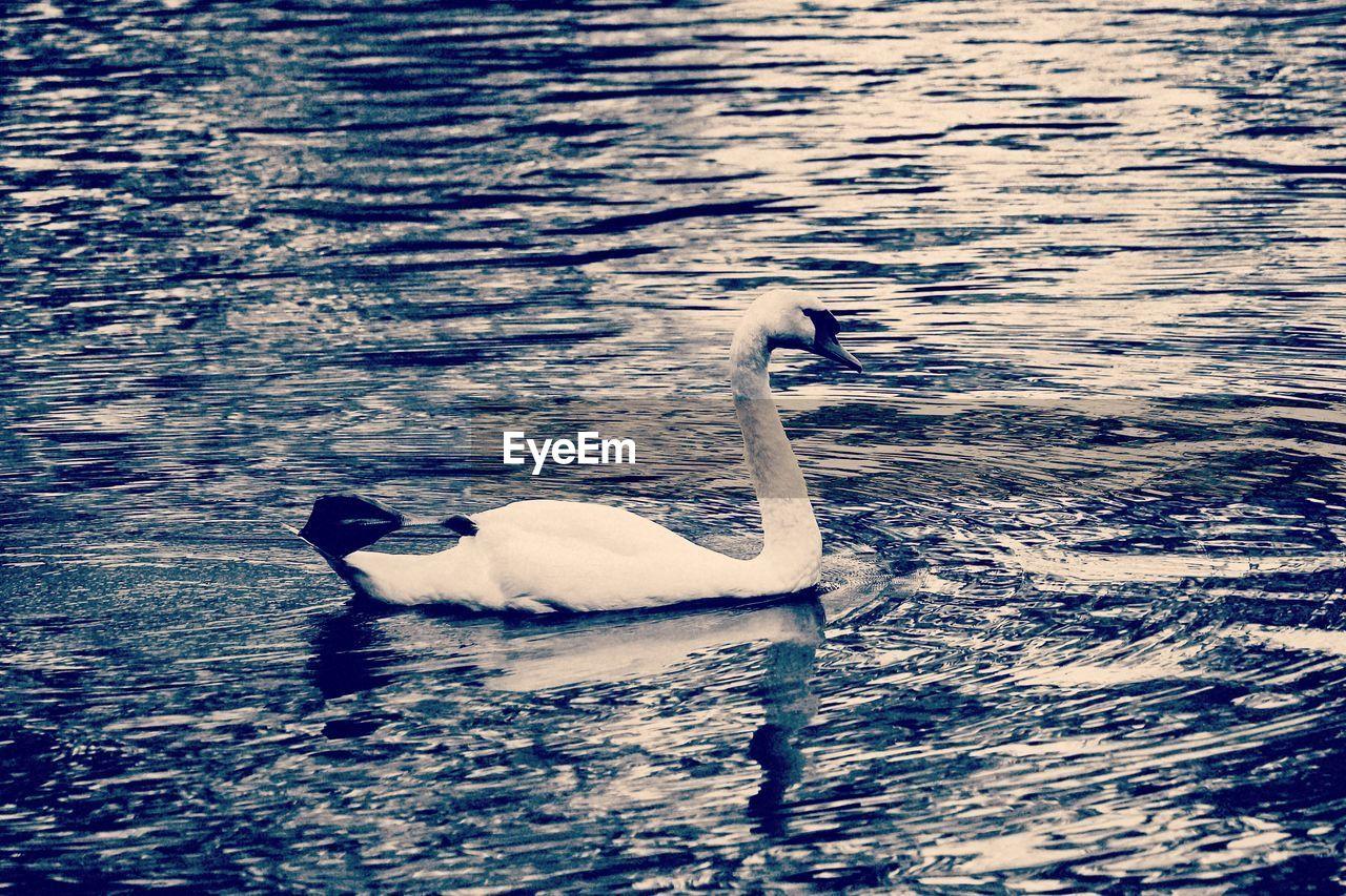 animal themes, animals in the wild, lake, bird, water, swan, one animal, swimming, waterfront, no people, water bird, nature, animal wildlife, day, outdoors