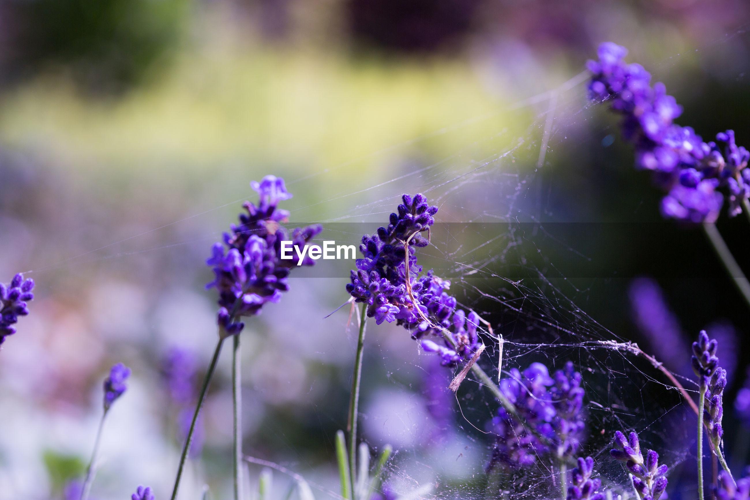 Spider web on purple flower buds
