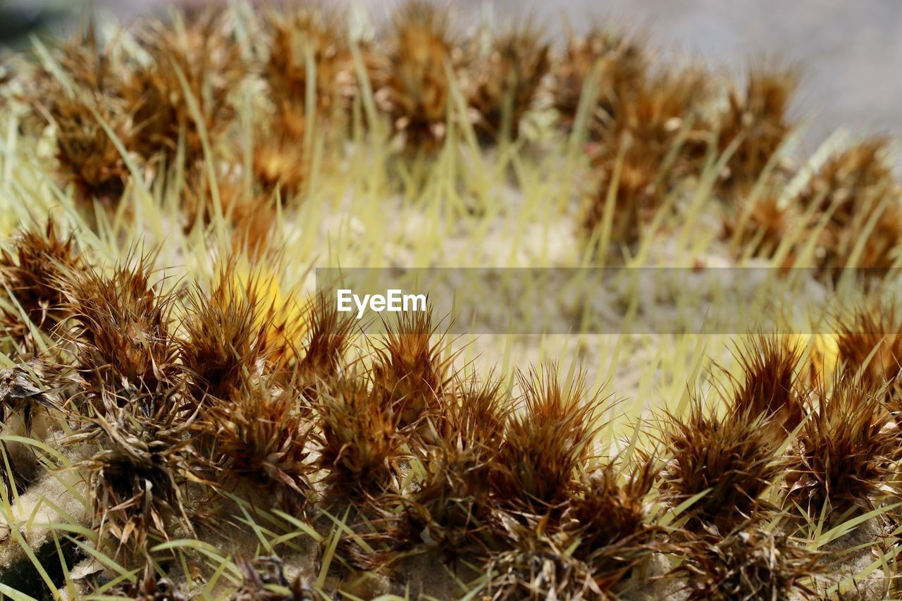 plant, growth, nature, close-up, no people, day, beauty in nature, field, focus on foreground, tranquility, selective focus, outdoors, grass, land, freshness, spiked, succulent plant, dry, sharp, cactus
