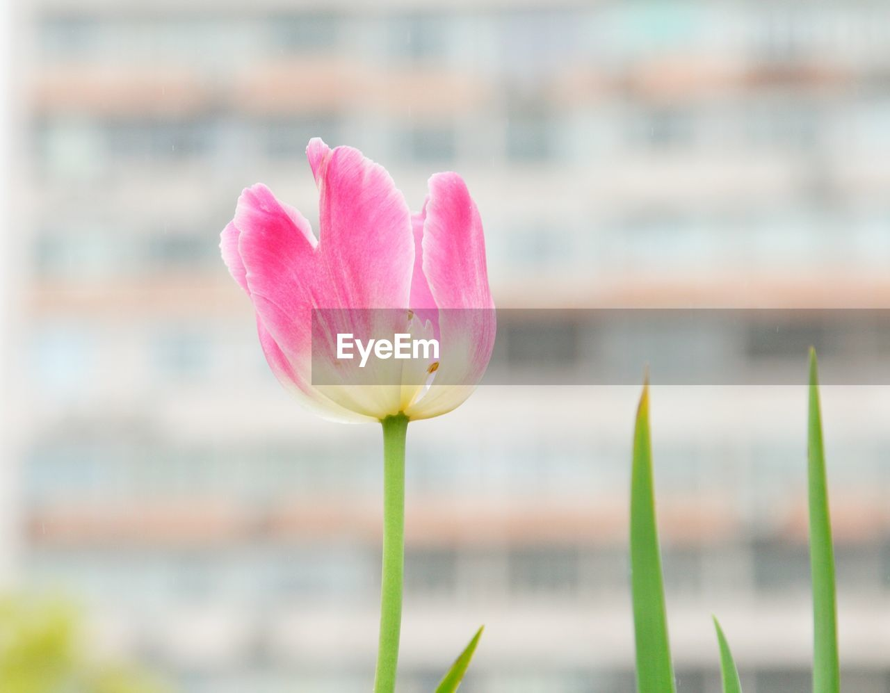 flower, growth, nature, petal, beauty in nature, pink color, fragility, plant, flower head, blooming, freshness, focus on foreground, close-up, outdoors, no people, day