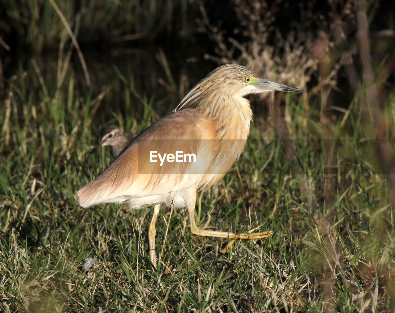 one animal, animal themes, vertebrate, animal, bird, animals in the wild, animal wildlife, plant, field, land, nature, grass, no people, day, close-up, side view, heron, focus on foreground, perching, outdoors
