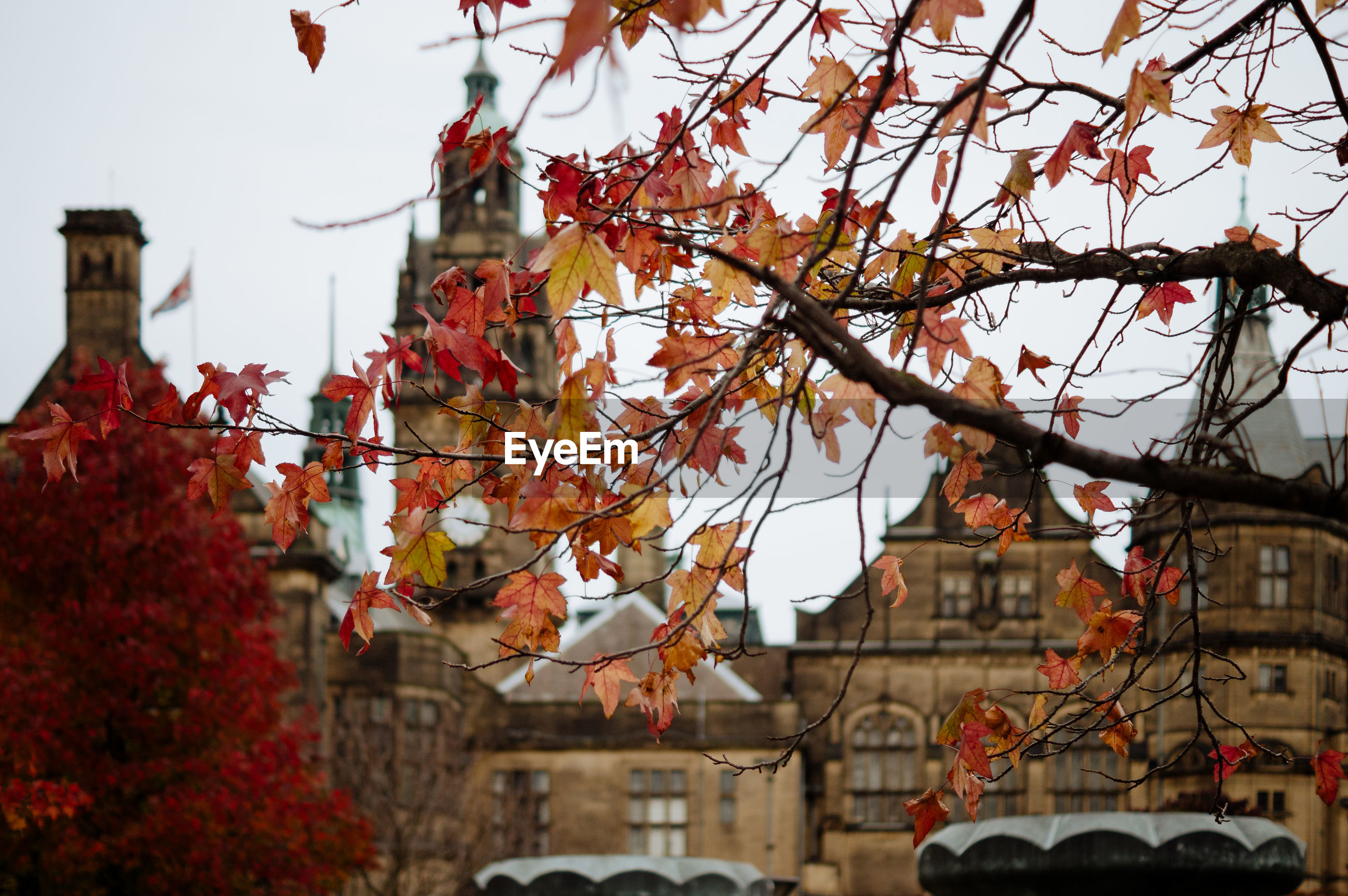 Maple tree against buildings during autumn