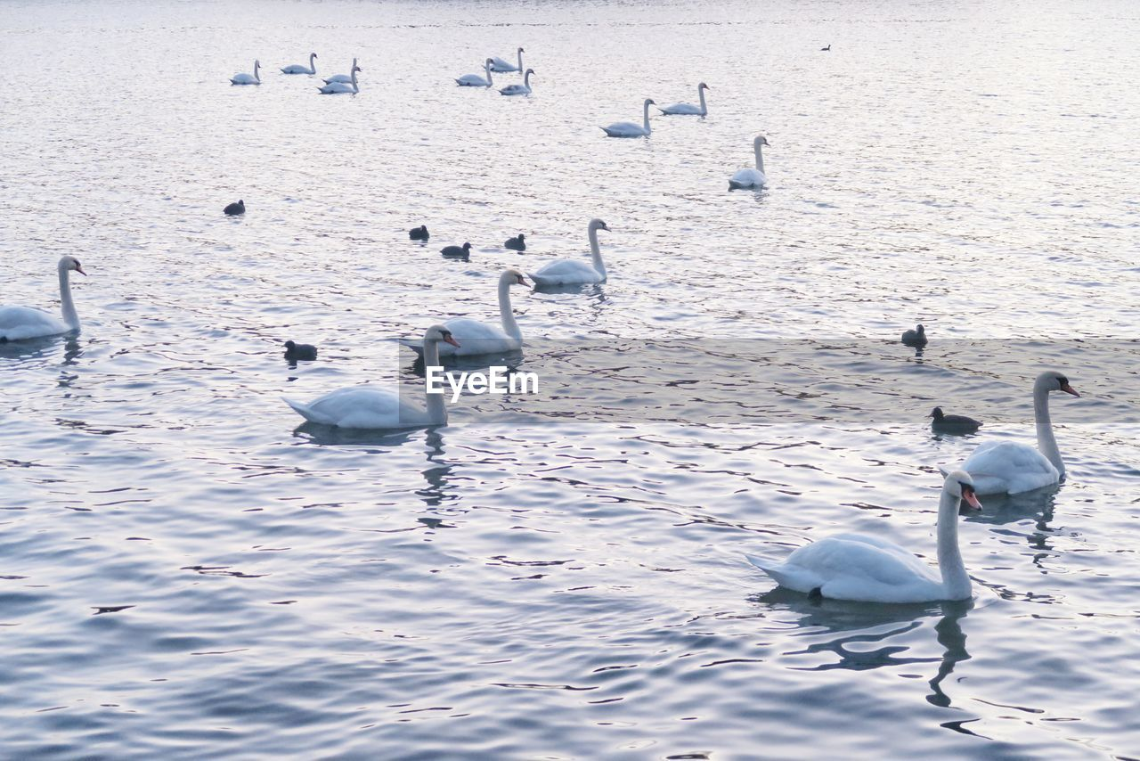 water, animals in the wild, bird, animal wildlife, group of animals, animal themes, vertebrate, animal, large group of animals, lake, swan, nature, no people, beauty in nature, day, swimming, waterfront, water bird, white color, floating on water, flock of birds
