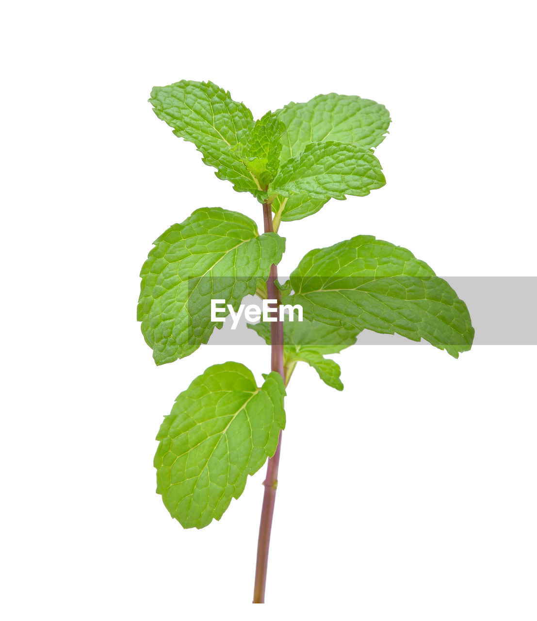 leaf, plant part, studio shot, green color, white background, indoors, close-up, freshness, nature, plant, plant stem, no people, cut out, copy space, food and drink, herb, leaves, beauty in nature, food, mint leaf - culinary