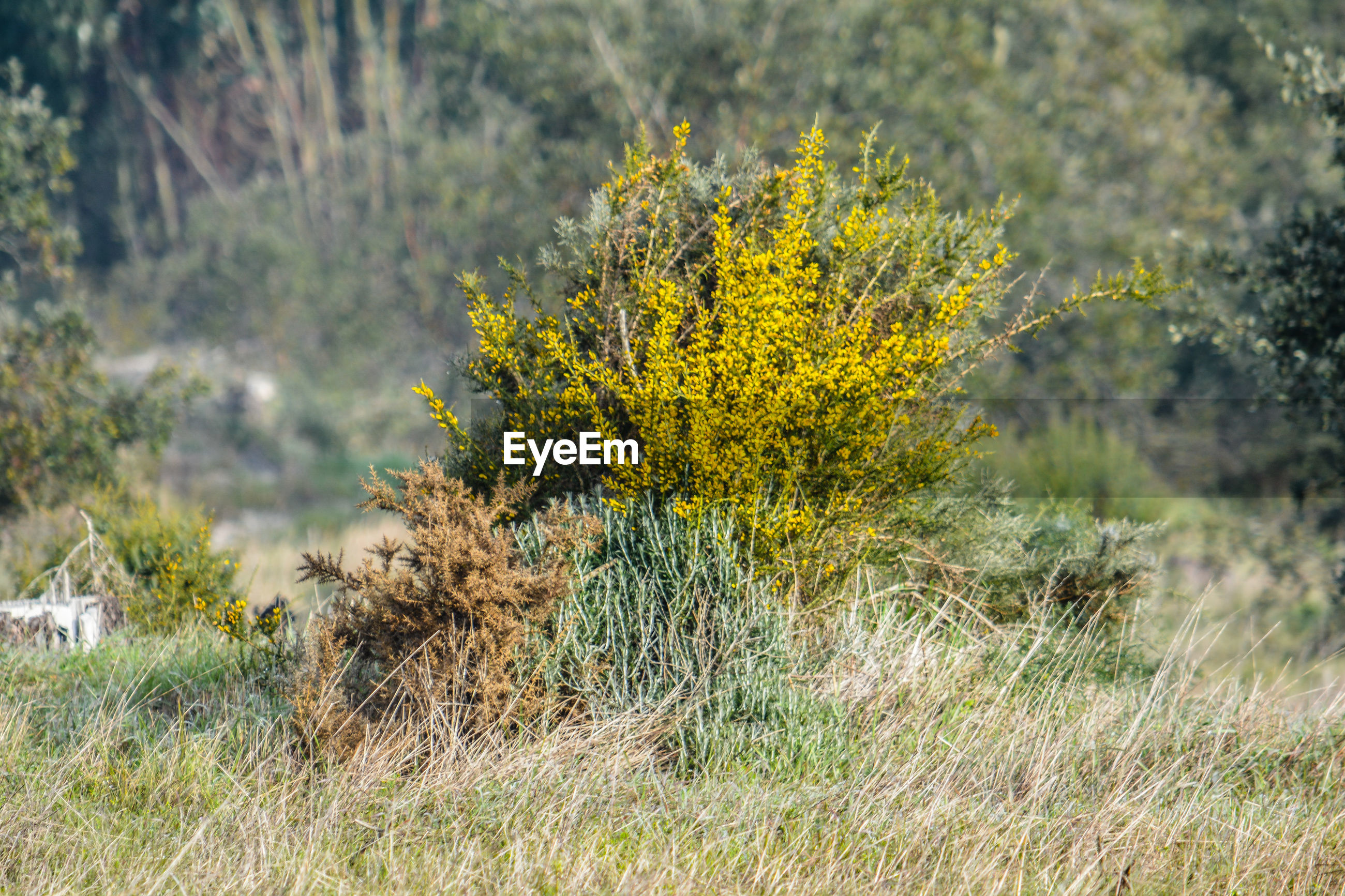 Yellow flowering plant on field