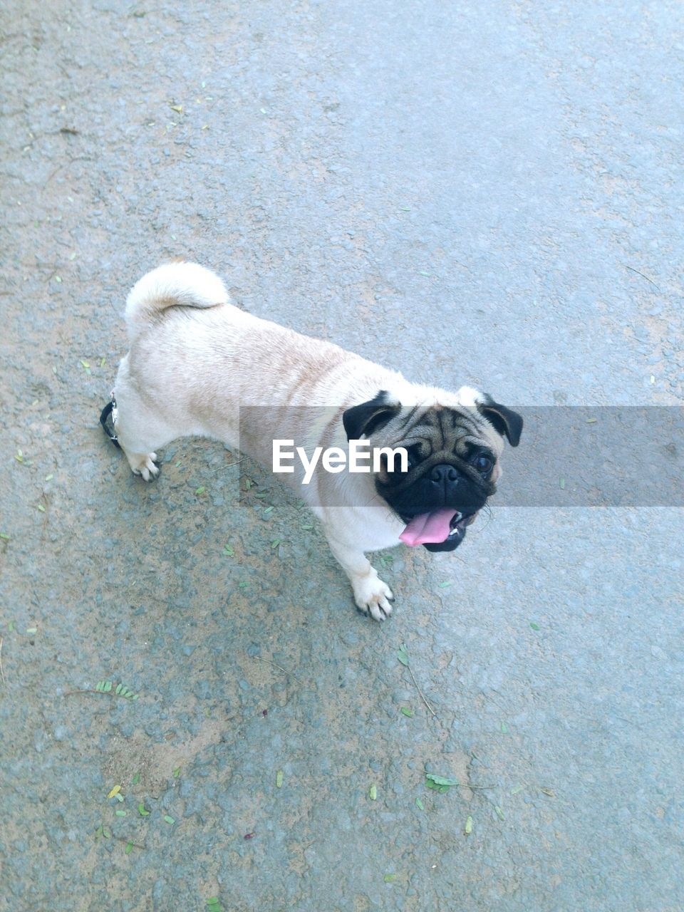 dog, one animal, pets, domestic animals, animal themes, mammal, mouth open, high angle view, pug, outdoors, panting, portrait, day, no people, looking at camera, sticking out tongue, close-up