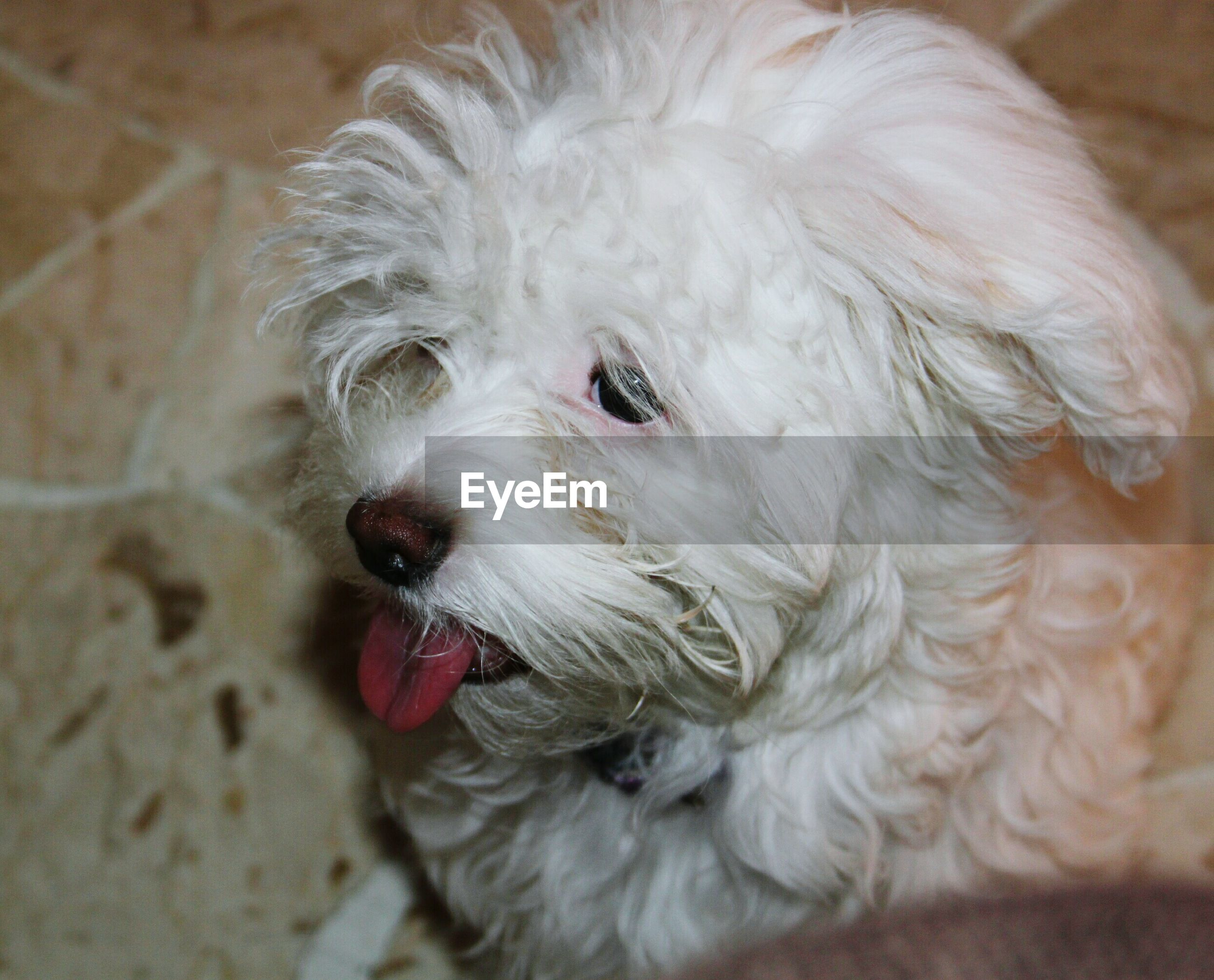 domestic animals, animal themes, pets, one animal, dog, mammal, indoors, close-up, animal head, animal hair, animal body part, portrait, looking at camera, cute, white color, focus on foreground, no people, home interior, mouth open, young animal