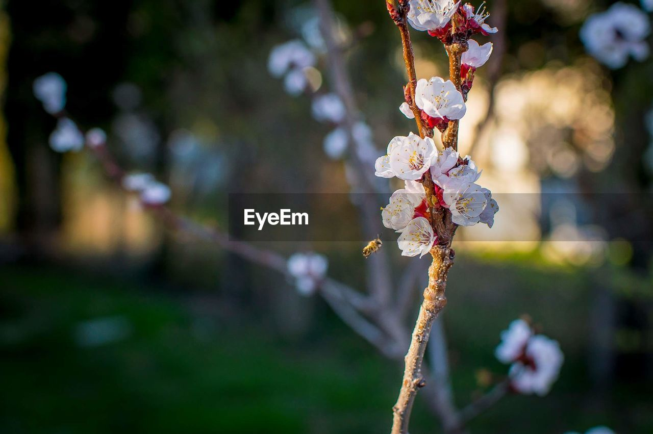 flower, fragility, focus on foreground, nature, beauty in nature, growth, outdoors, close-up, freshness, white color, day, no people, tree, twig, branch, springtime, flower head